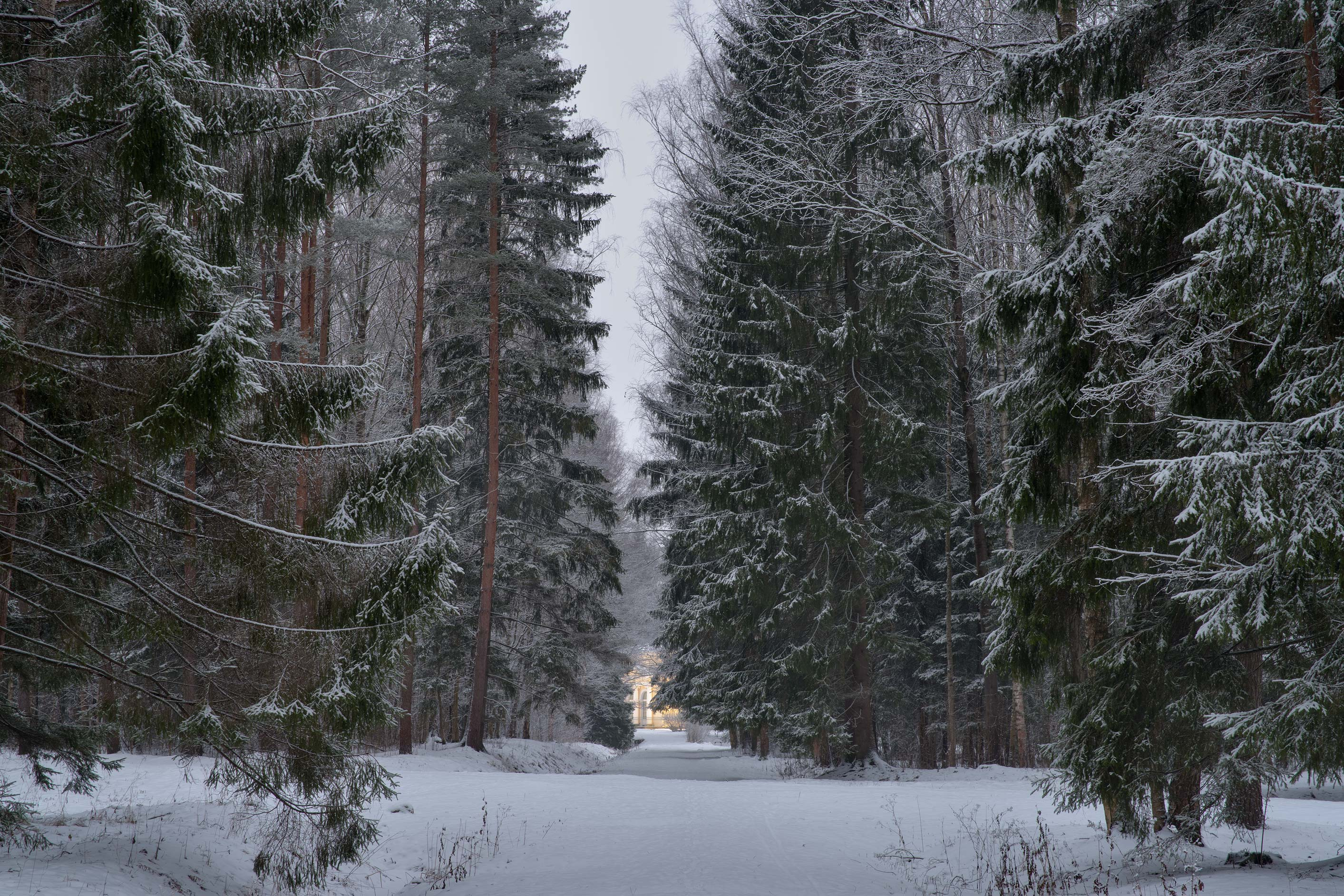 Spruce forest from Krasnogo Molodtsa Alley in...suburb of St.Petersburg, Russia