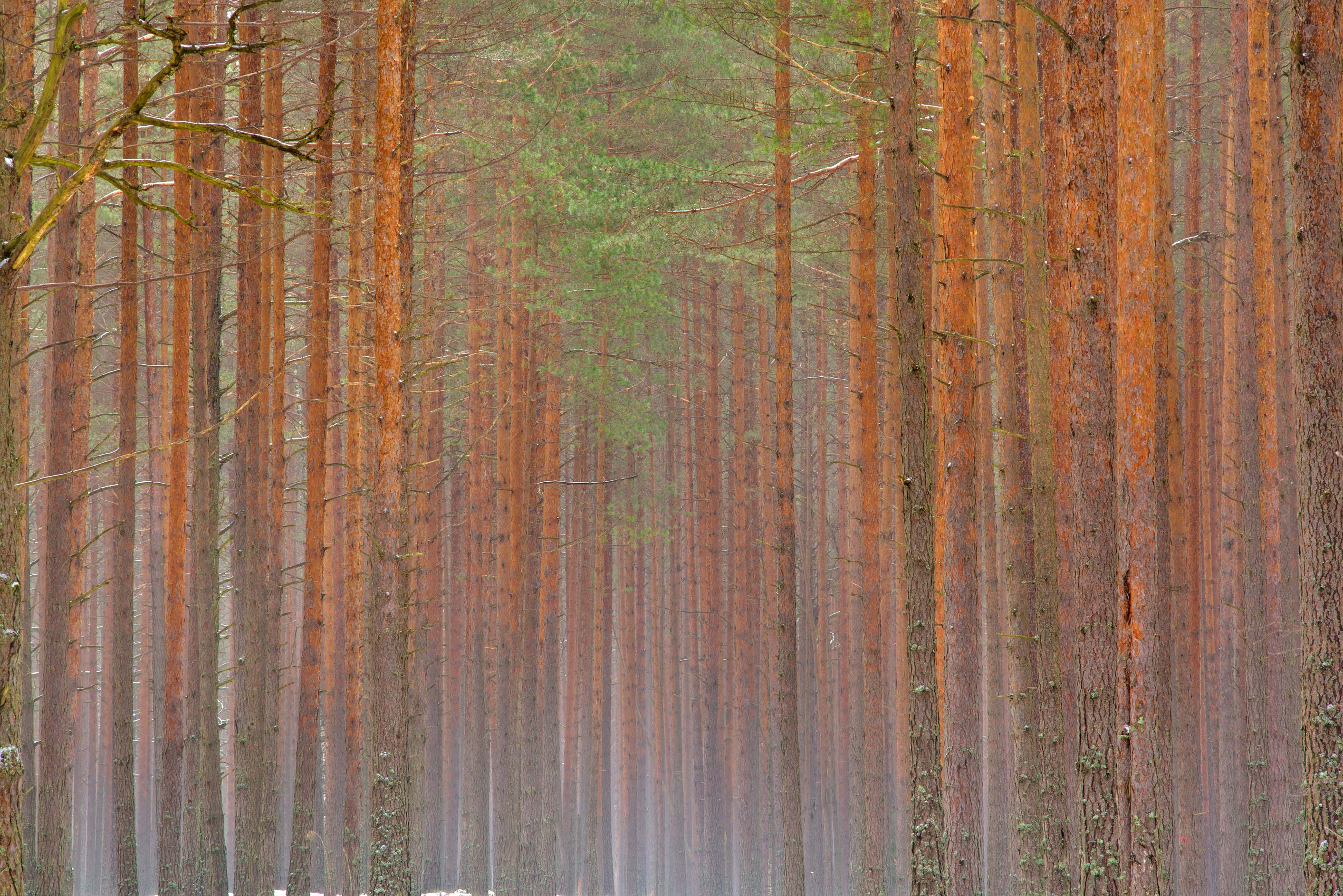 Pine forest in mist near Razliv Lake west from...area near St.Petersburg. Russia