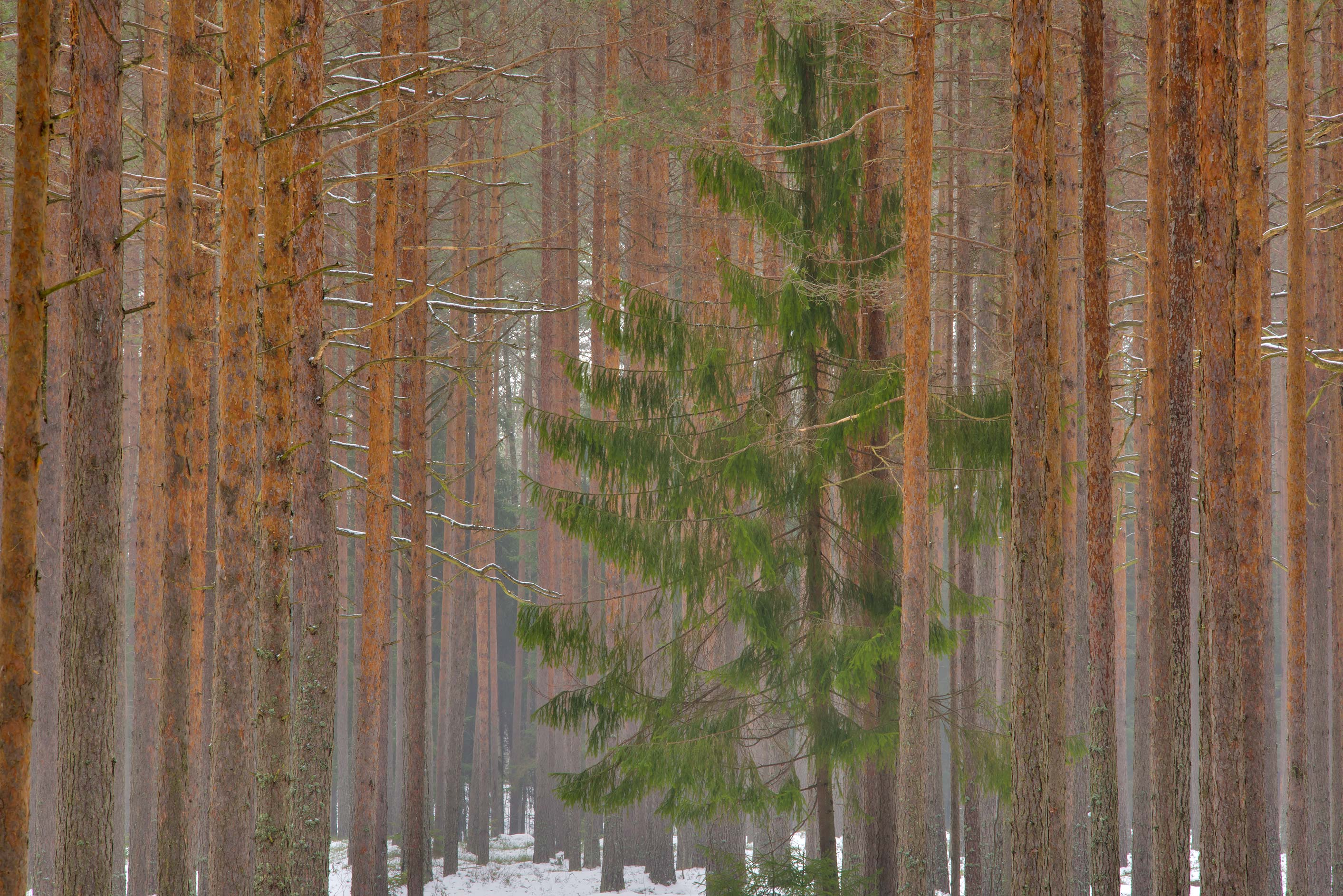 Solitary spruce tree among pines west from Dibuny-Pesochny area near St.Petersburg. Russia