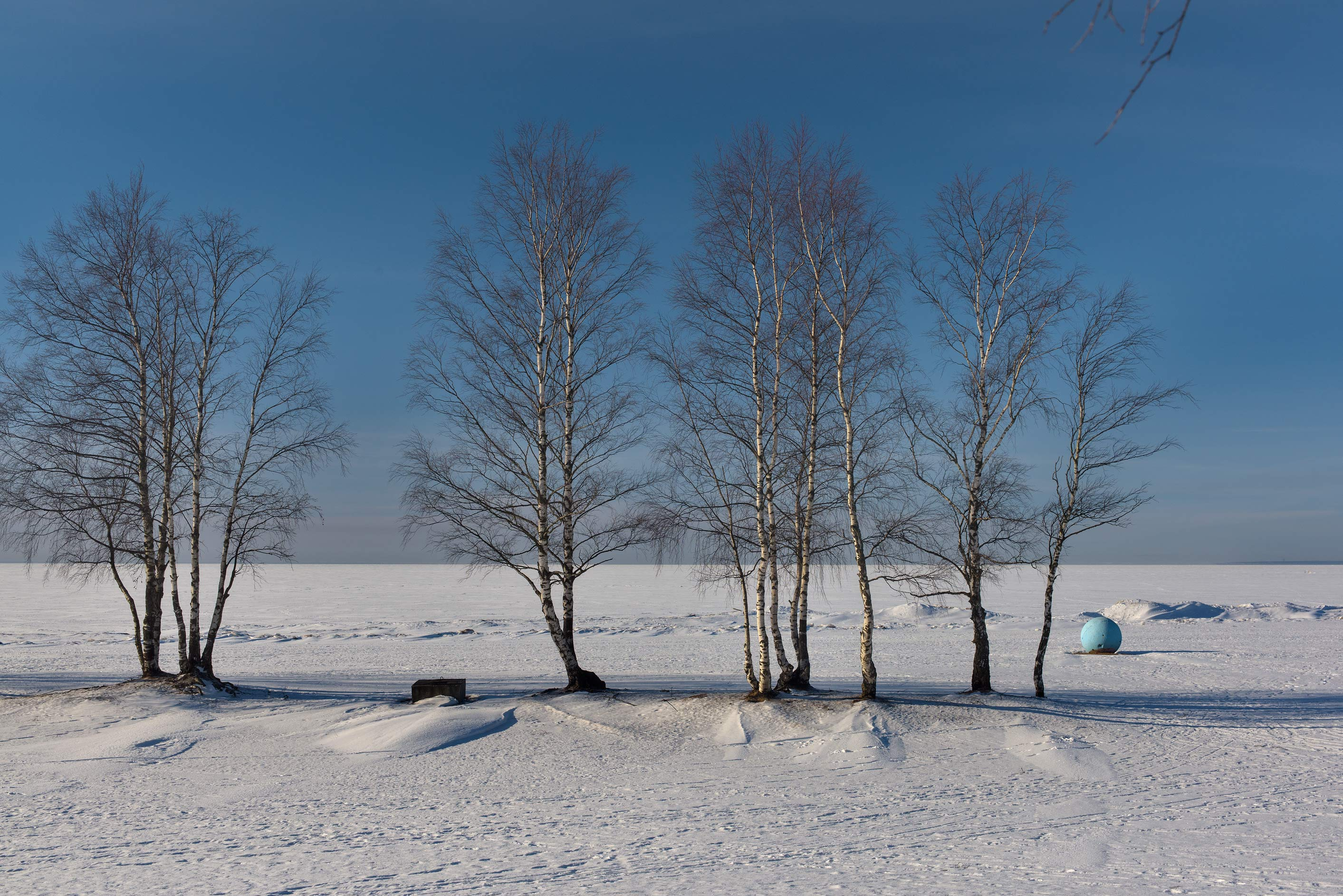 Birch trees on Laskovy Beach of Gulf of Finland...suburb of St.Petersburg. Russia
