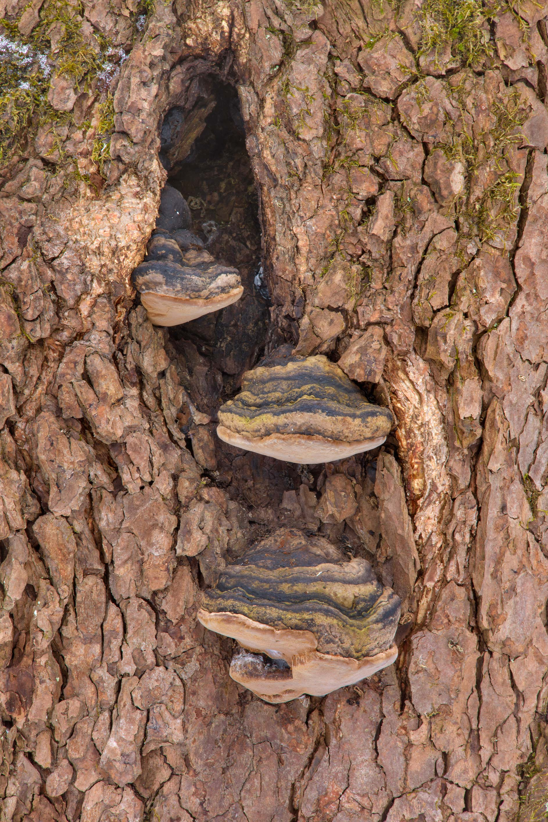 Willow bracket fungus (Phellinus igniarius...Nos, west from St.Petersburg. Russia
