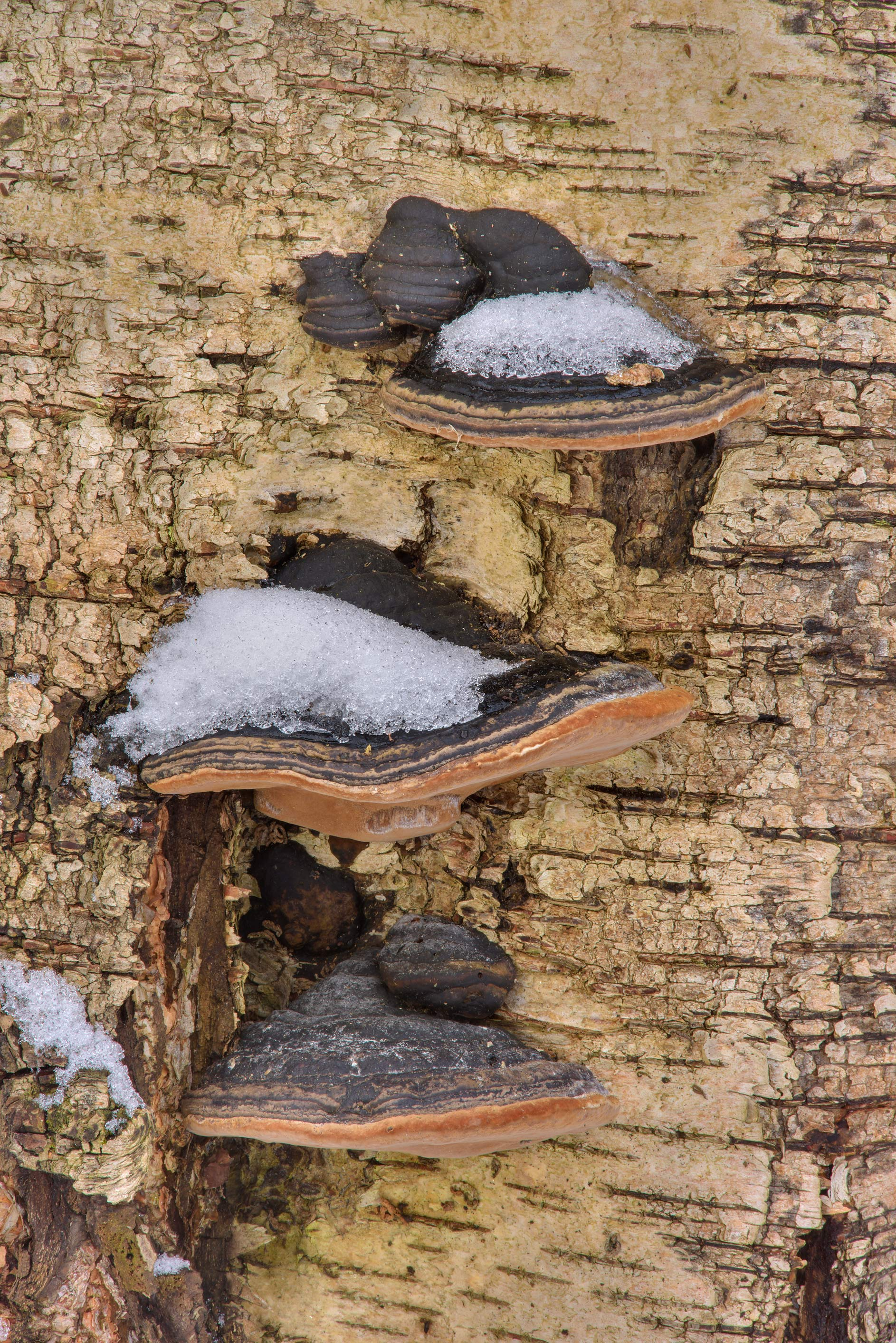 Willow bracket fungus (Phellinus igniarius...Nos, south from St.Petersburg. Russia