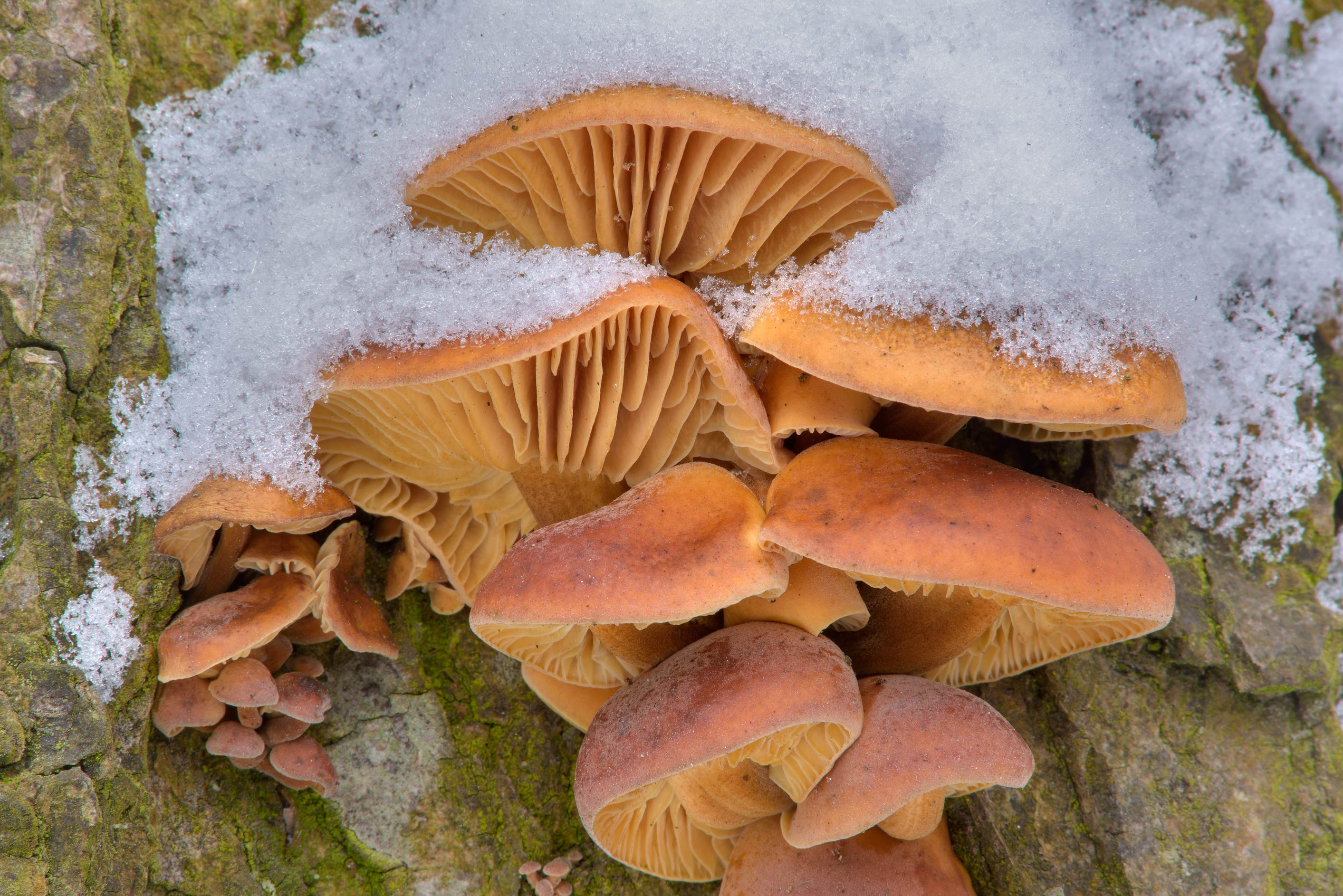 Winter mushrooms (velvet foot, Flammulina...Institute. St.Petersburg, Russia
