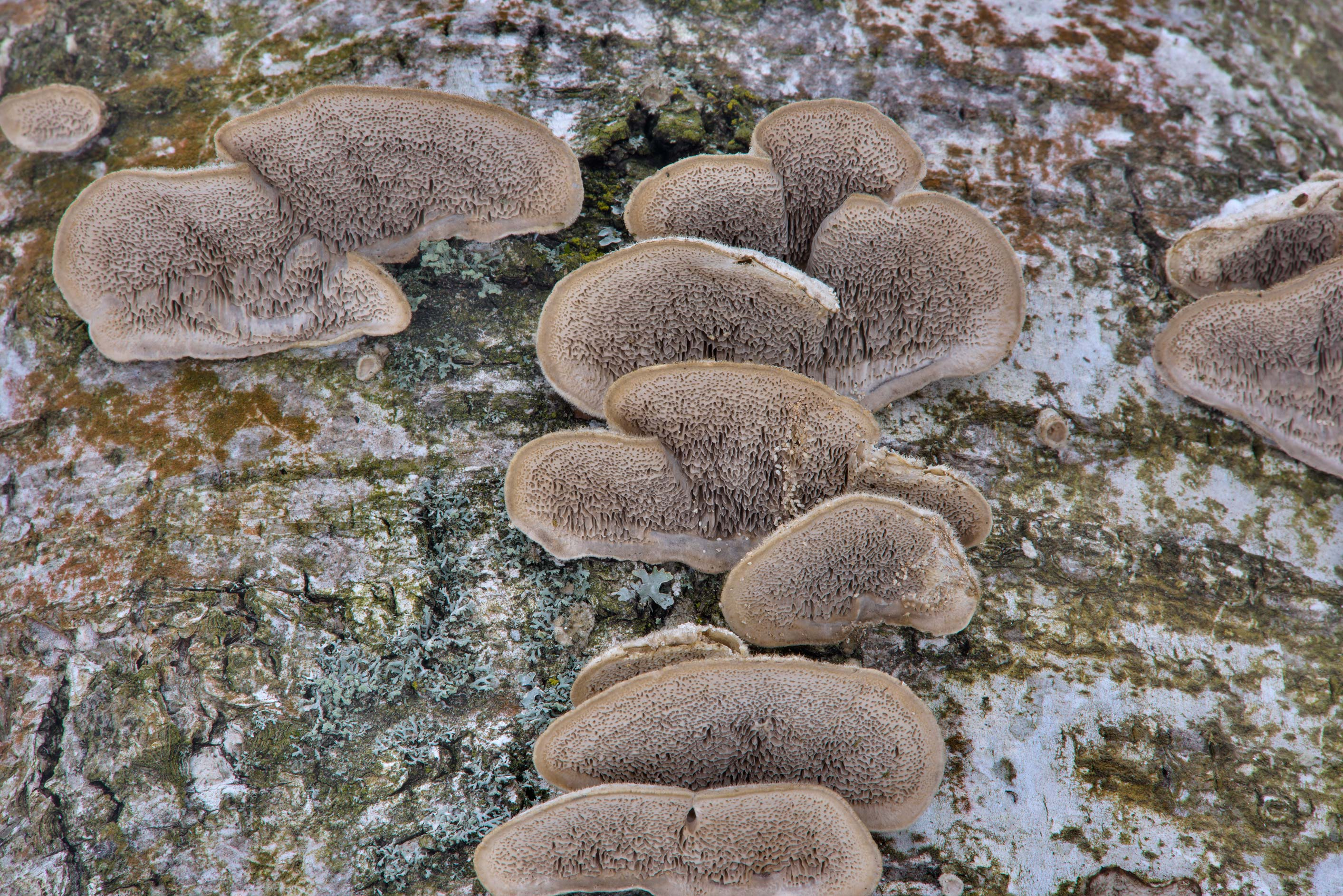 Mossy maze polypore mushrooms (Cerrena unicolor...Park. St.Petersburg, Russia