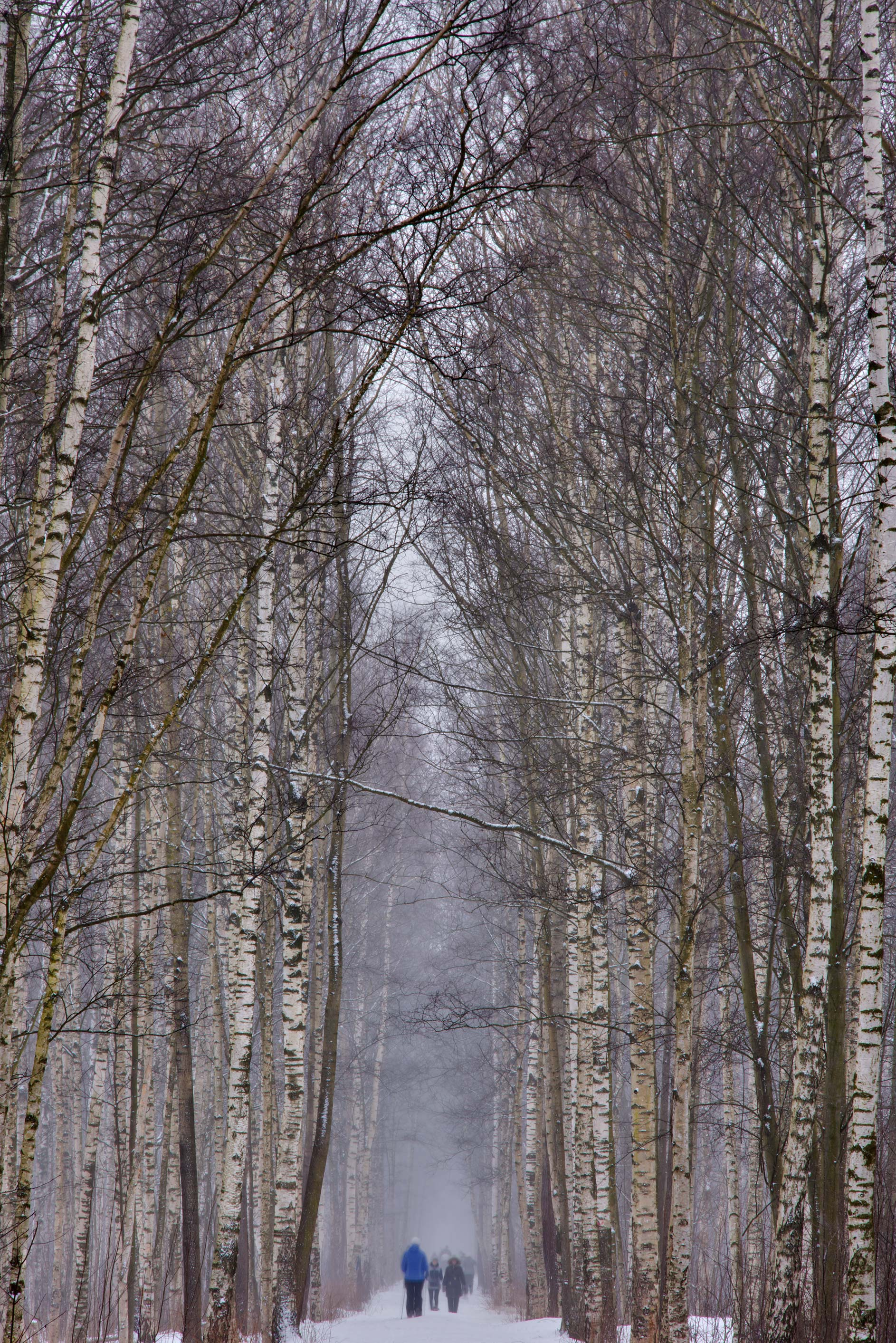 Birch alley in Yuntolovsky Park during snowfall. St.Petersburg, Russia