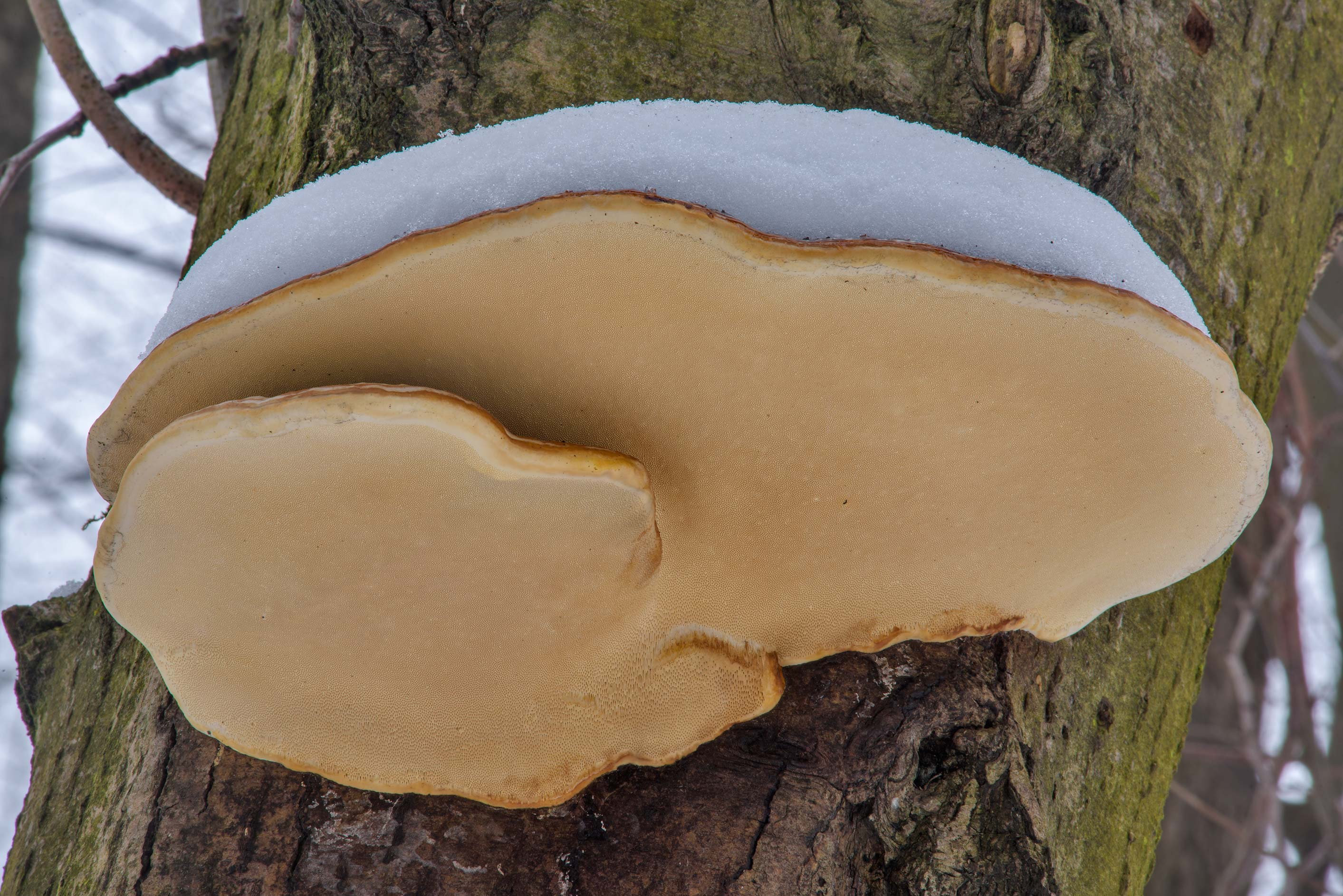 Large red-belted bracket (polypore mushroom...in Udelny Park. St.Petersburg, Russia