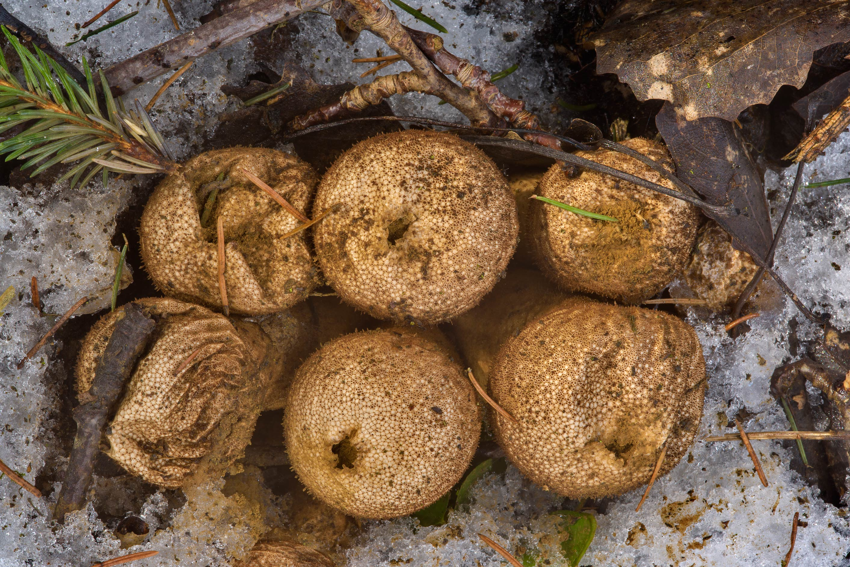 Old spiked puffball mushrooms (Lycoperdon...Park. St.Petersburg, Russia