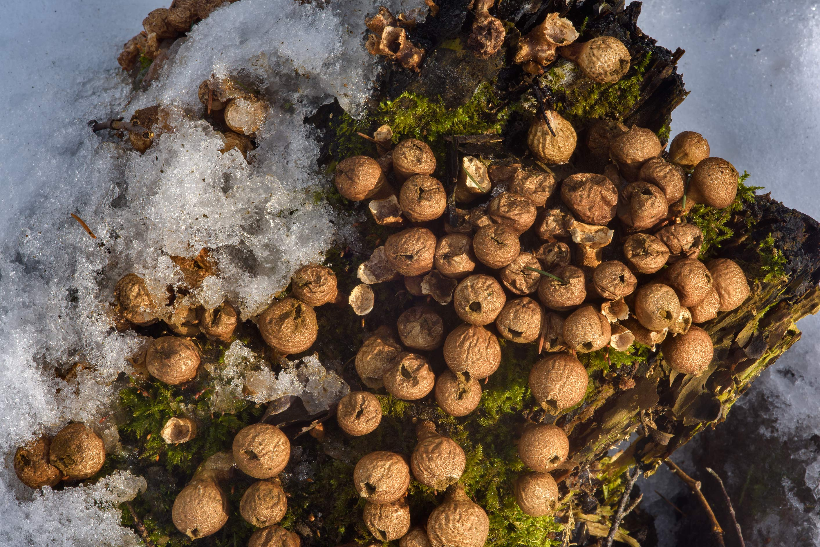 Old pear-shaped puffball mushrooms (Lycoperdon...Park. St.Petersburg, Russia
