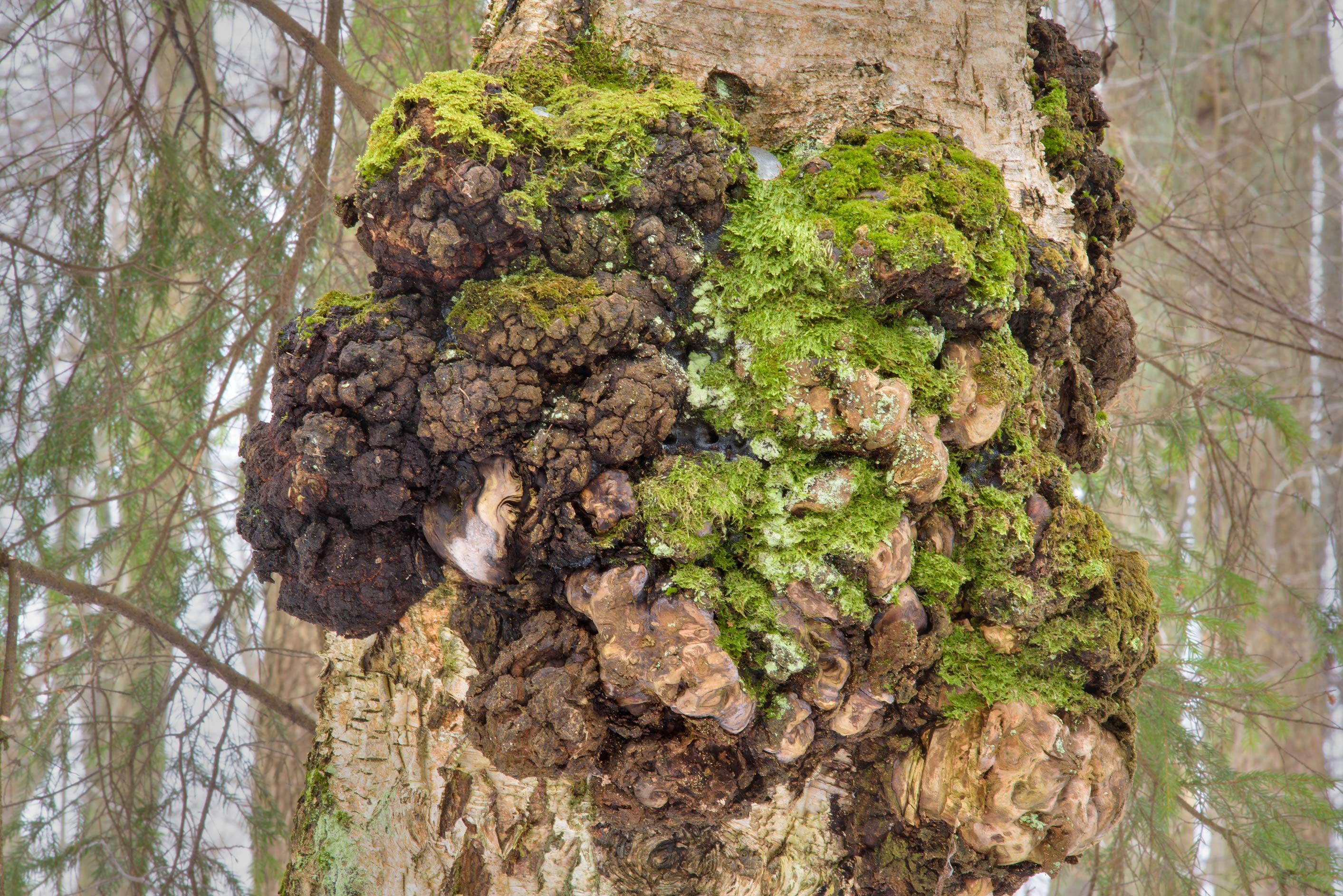 Multiple gnarls on a birch trunk near Lisiy Nos, west from St.Petersburg. Russia