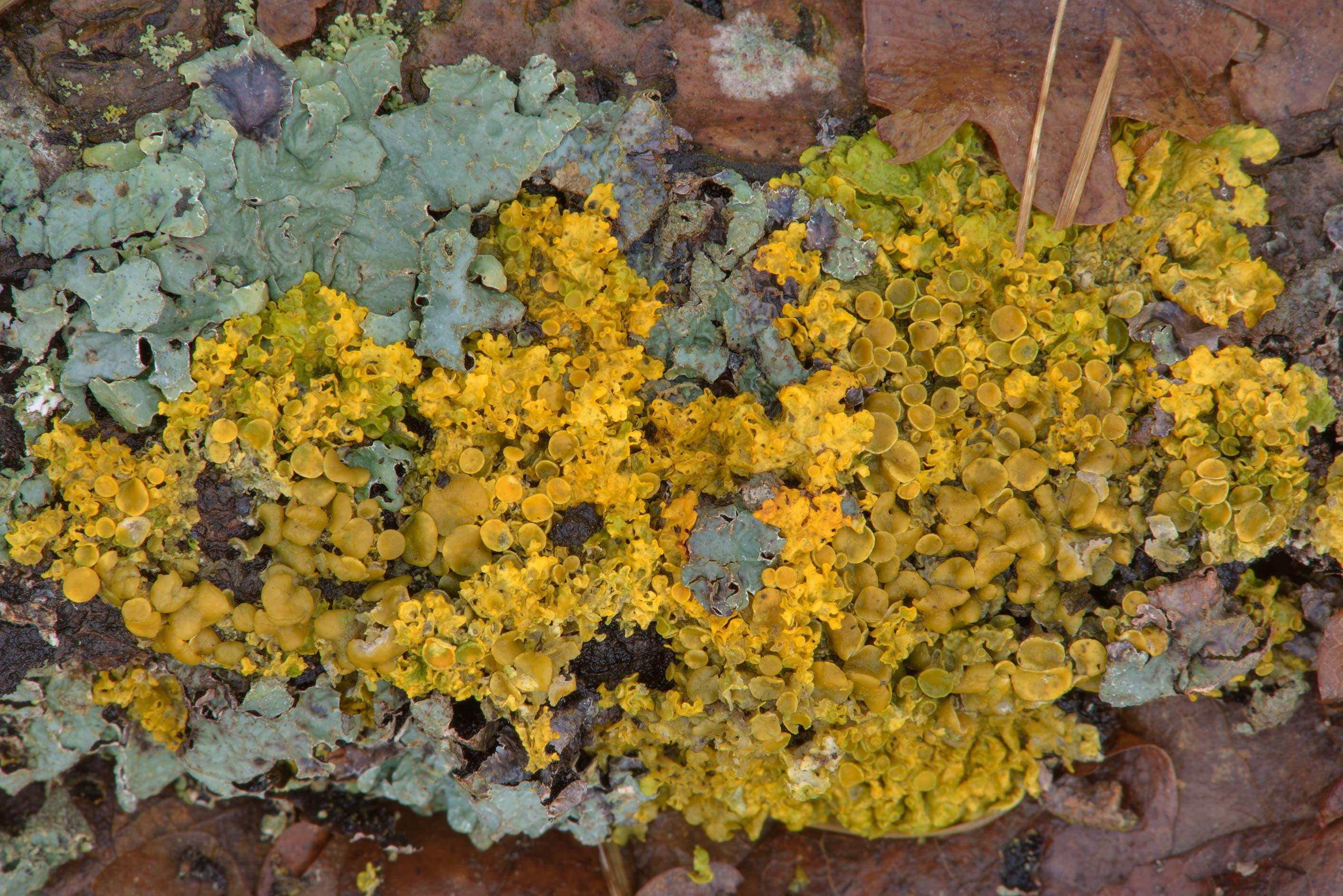 Golden lichen on a fallen piece of bark near Lisiy Nos, west from St.Petersburg. Russia