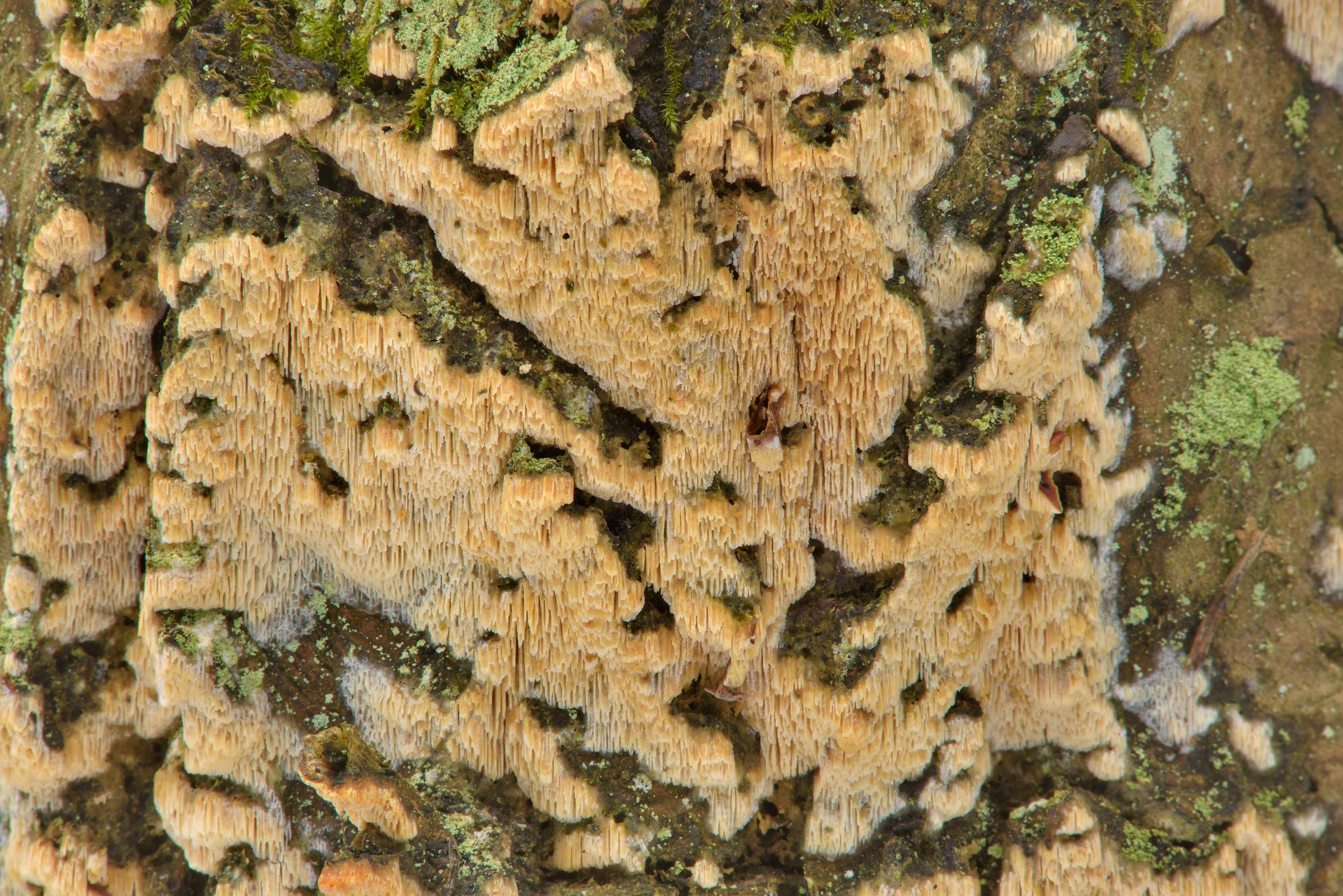 White rot fungus Schizopora paradoxa on a tree...Nos, west from St.Petersburg. Russia