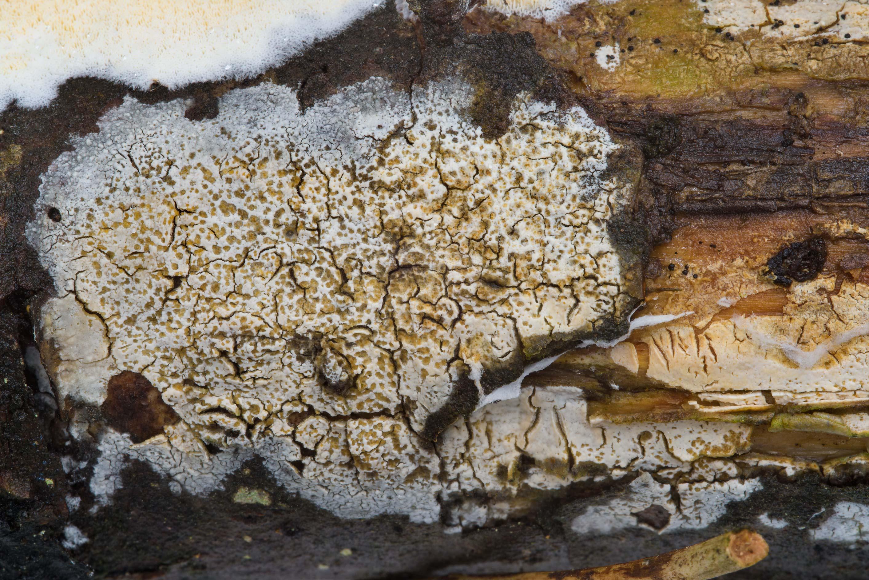 Some cracked crust of a fungus on lower side of a...Pesochny near St.Petersburg. Russia