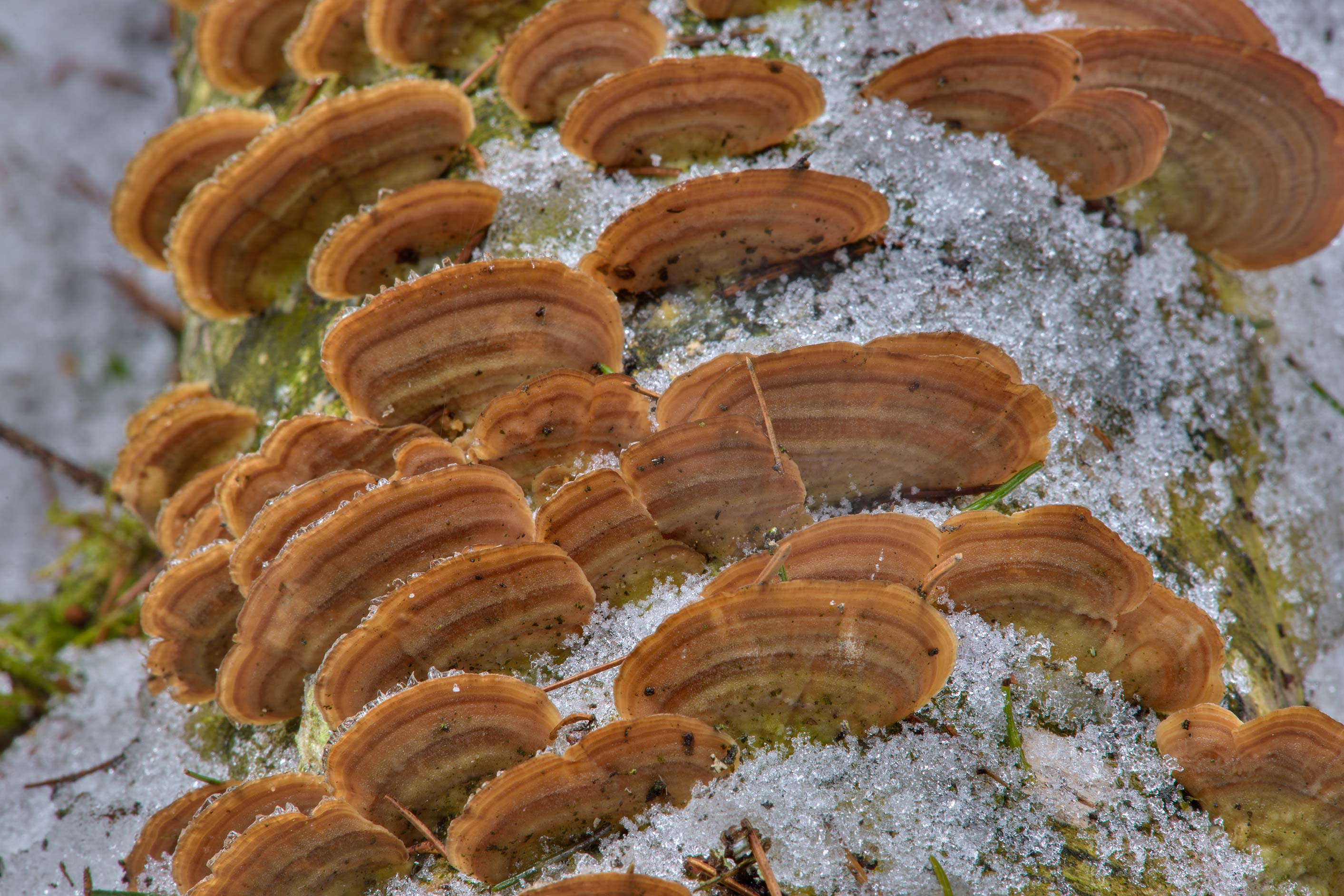 Purple toothed polypore mushrooms (Trichaptum...Pesochny near St.Petersburg. Russia