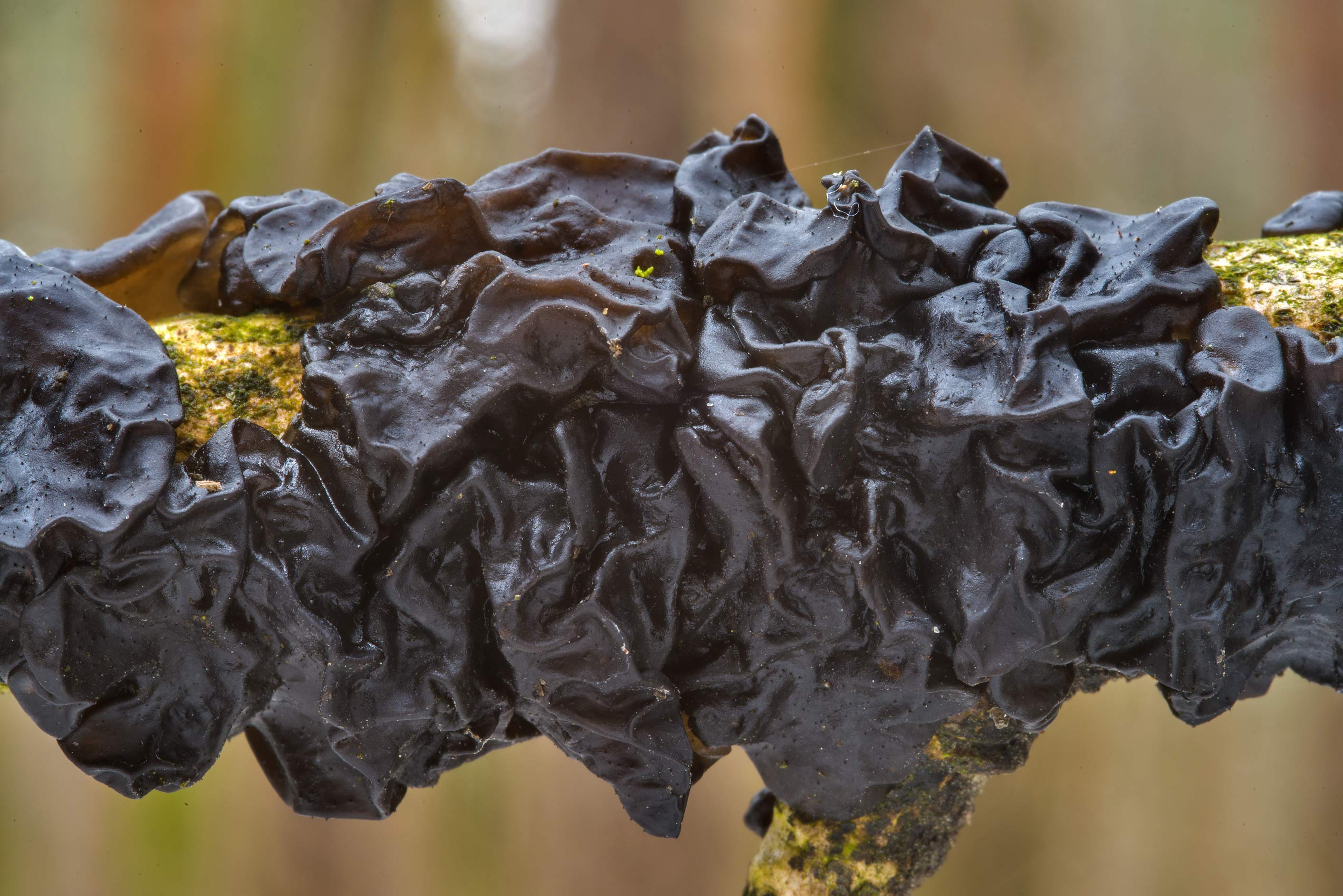 Witches' butter jelly fungus Exidia nigricans in Sosnovka Park. St.Petersburg, Russia
