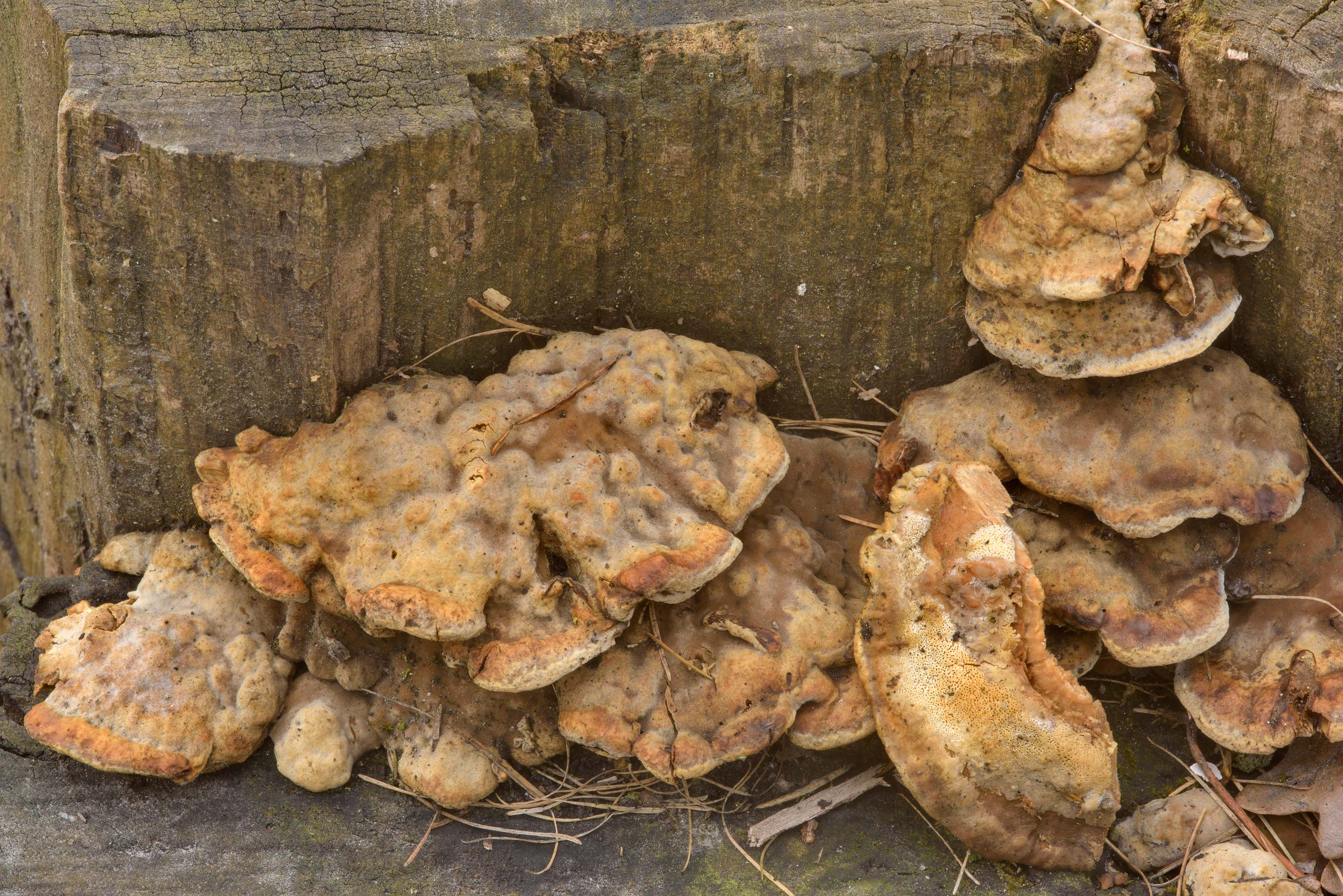 Some timber mushrooms of a stump of maple tree in...Institute. St.Petersburg, Russia