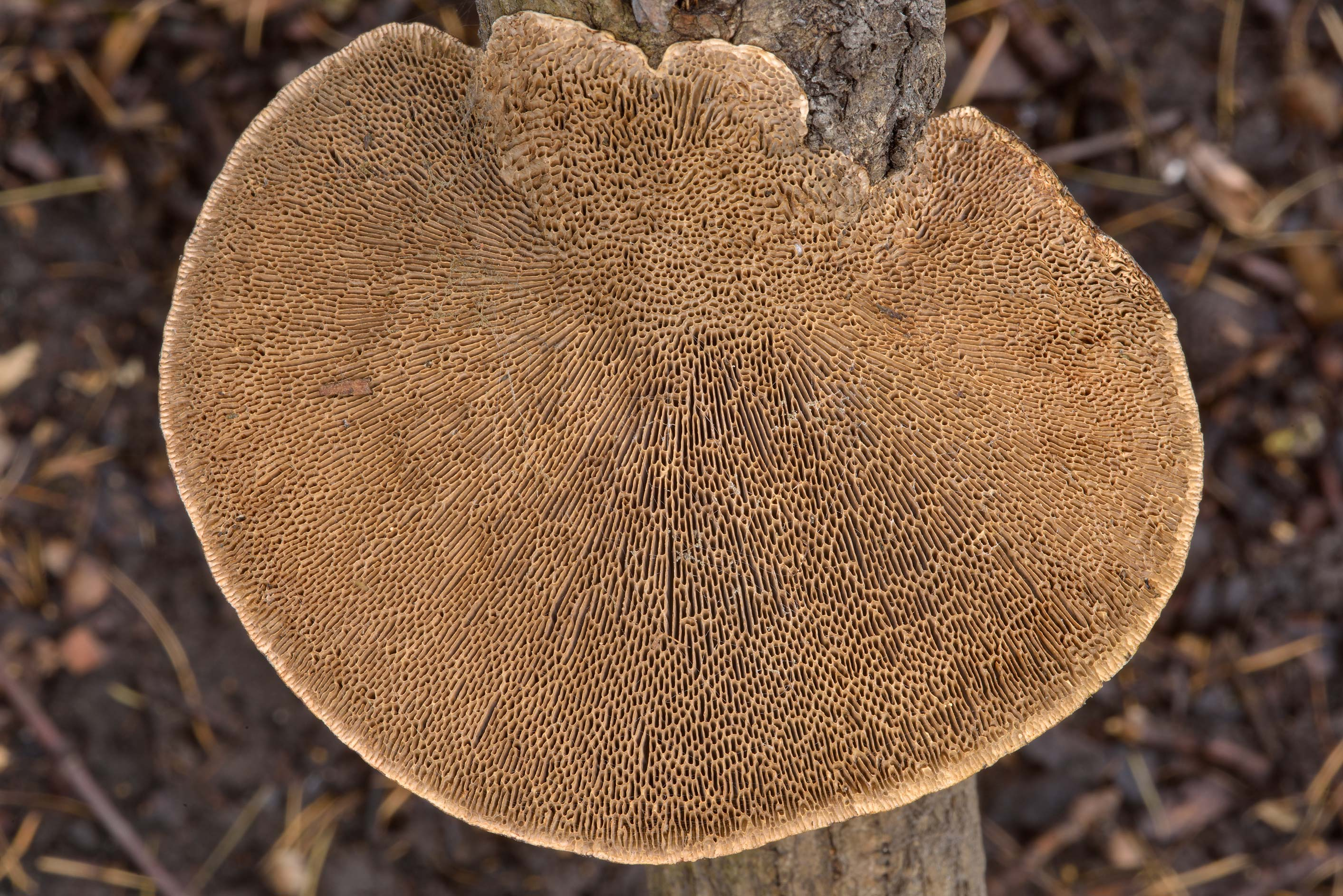 Gills of thin-walled maze polypore mushroom...Institute. St.Petersburg, Russia
