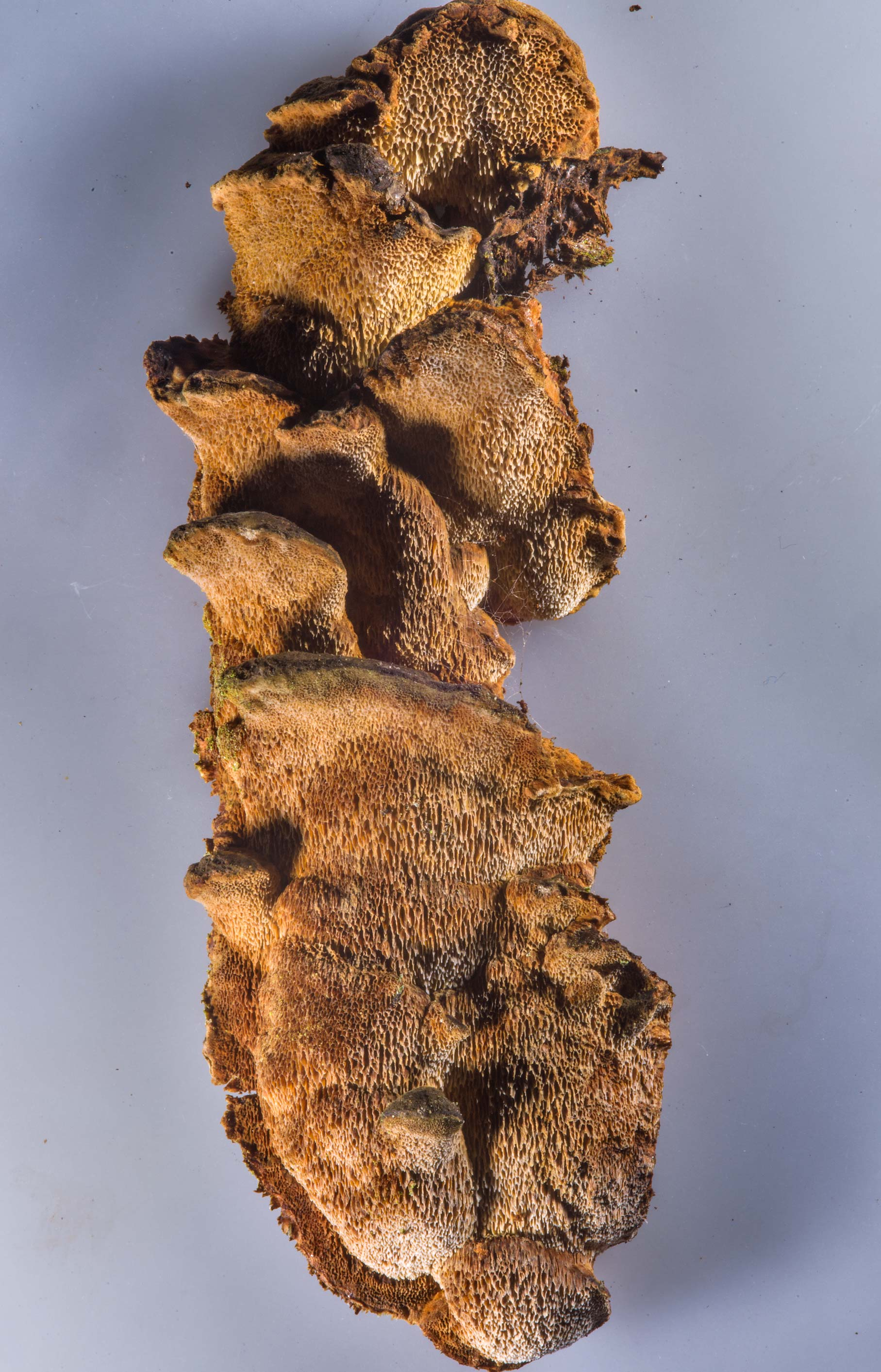 Poroid crust fungus Xanthoporia radiata...miles north from St.Petersburg. Russia