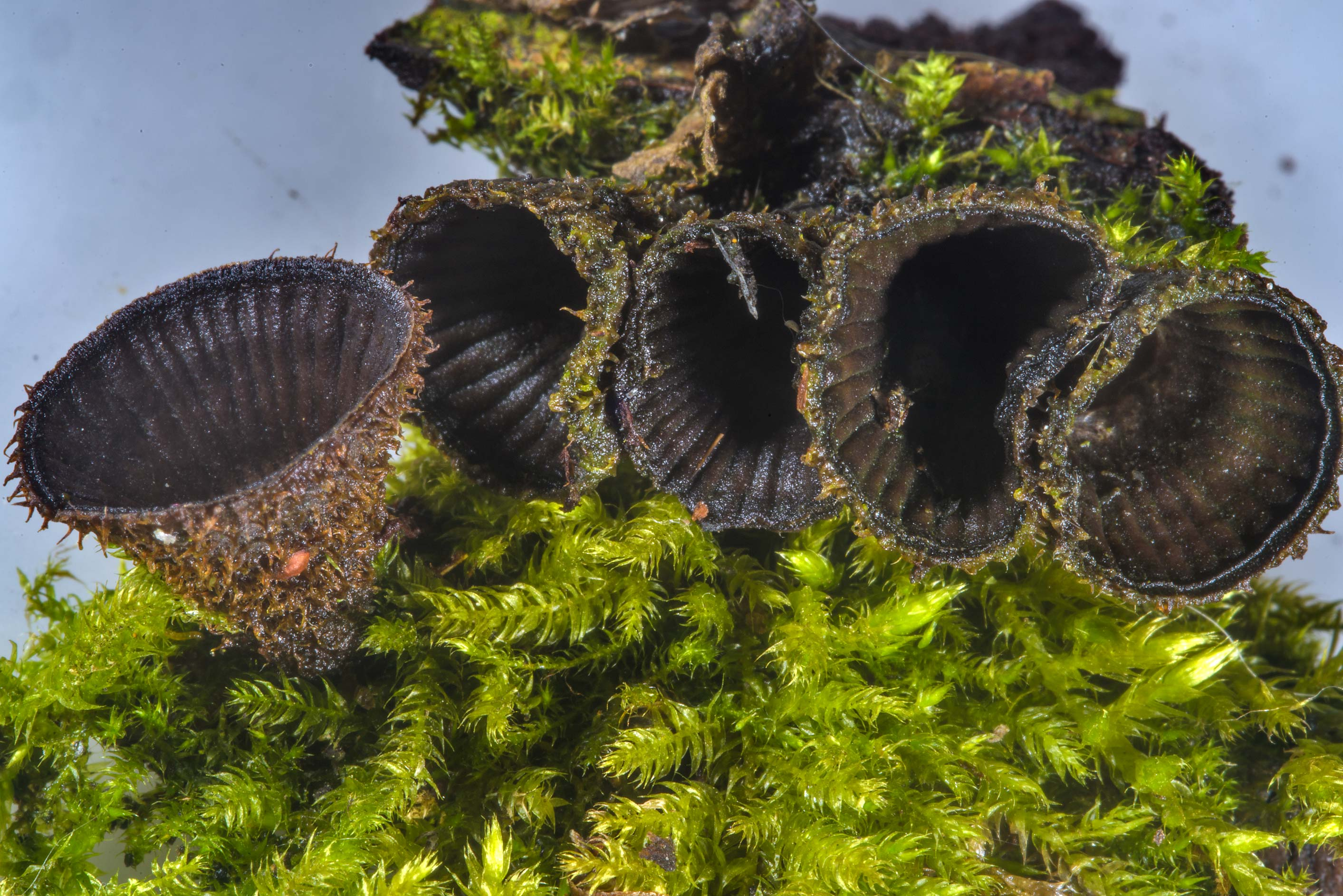 Fluted bird's nest mushrooms (Cyathus striatus...Sosnovka Park. St.Petersburg, Russia