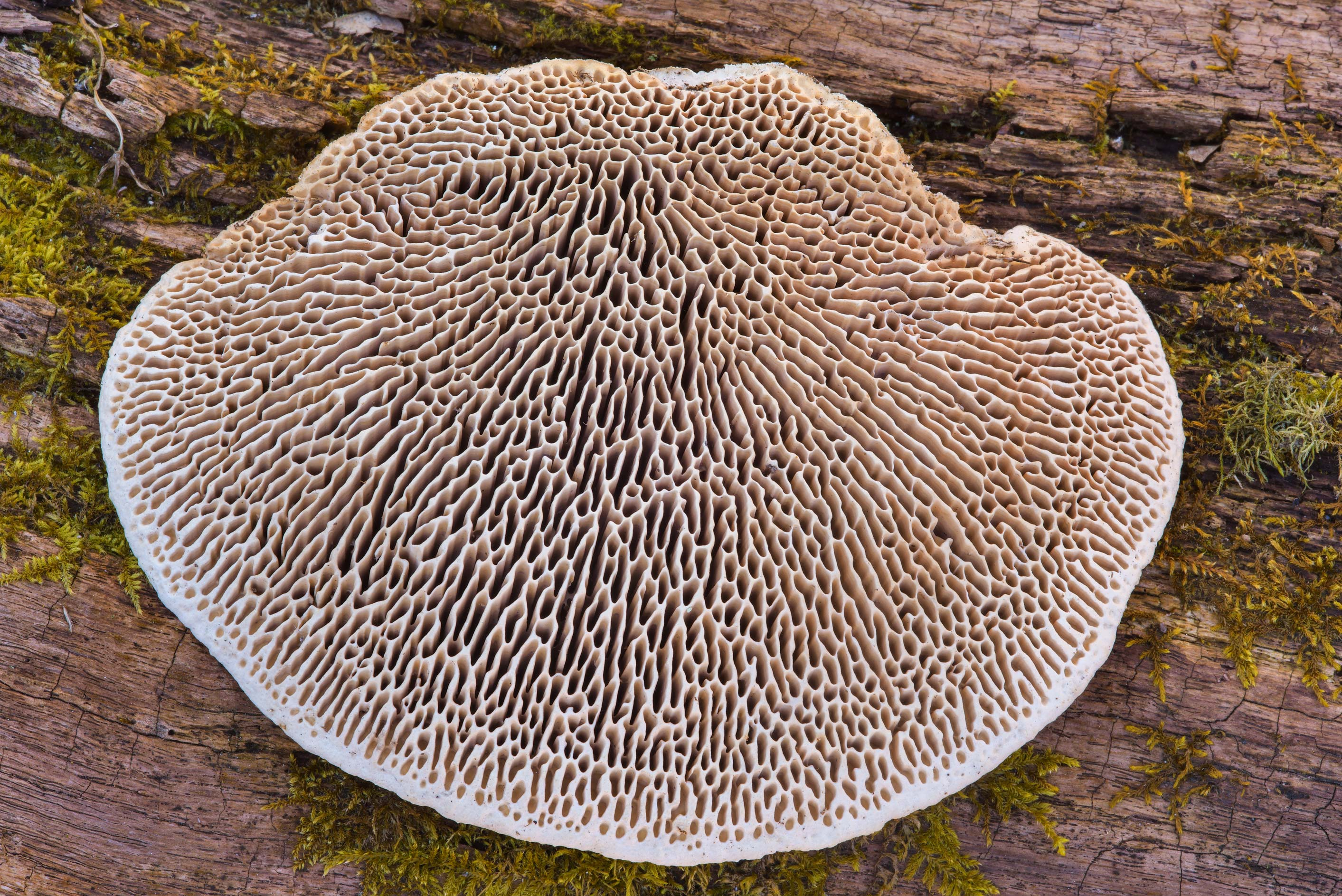 Hymenophore of maze-gill fungus (oak mazegill...Nos, west from St.Petersburg. Russia