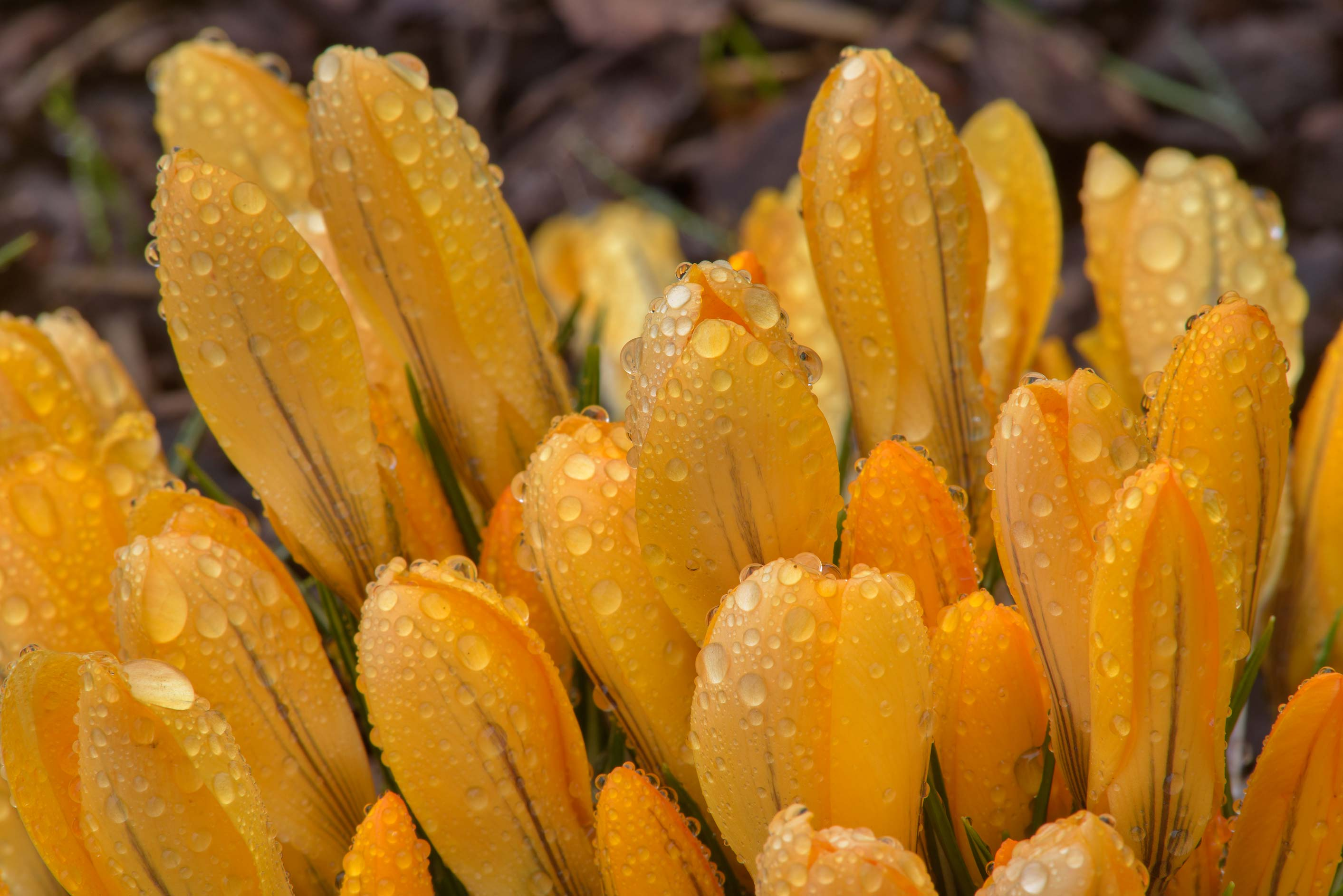 Flower buds of yellow crocus (Crocus flavus...Institute. St.Petersburg, Russia