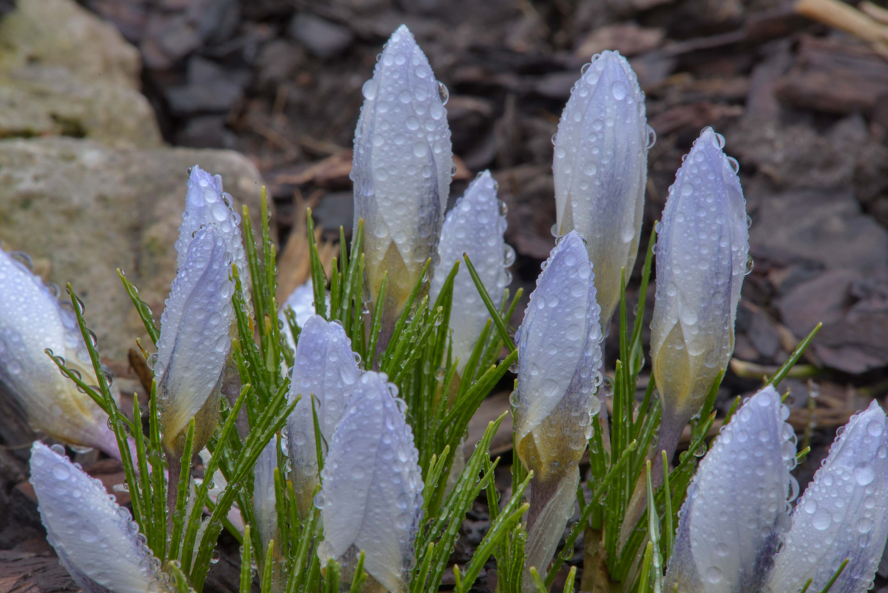 Flower buds of snow crocus (Crocus chrysanthus...Institute. St.Petersburg, Russia