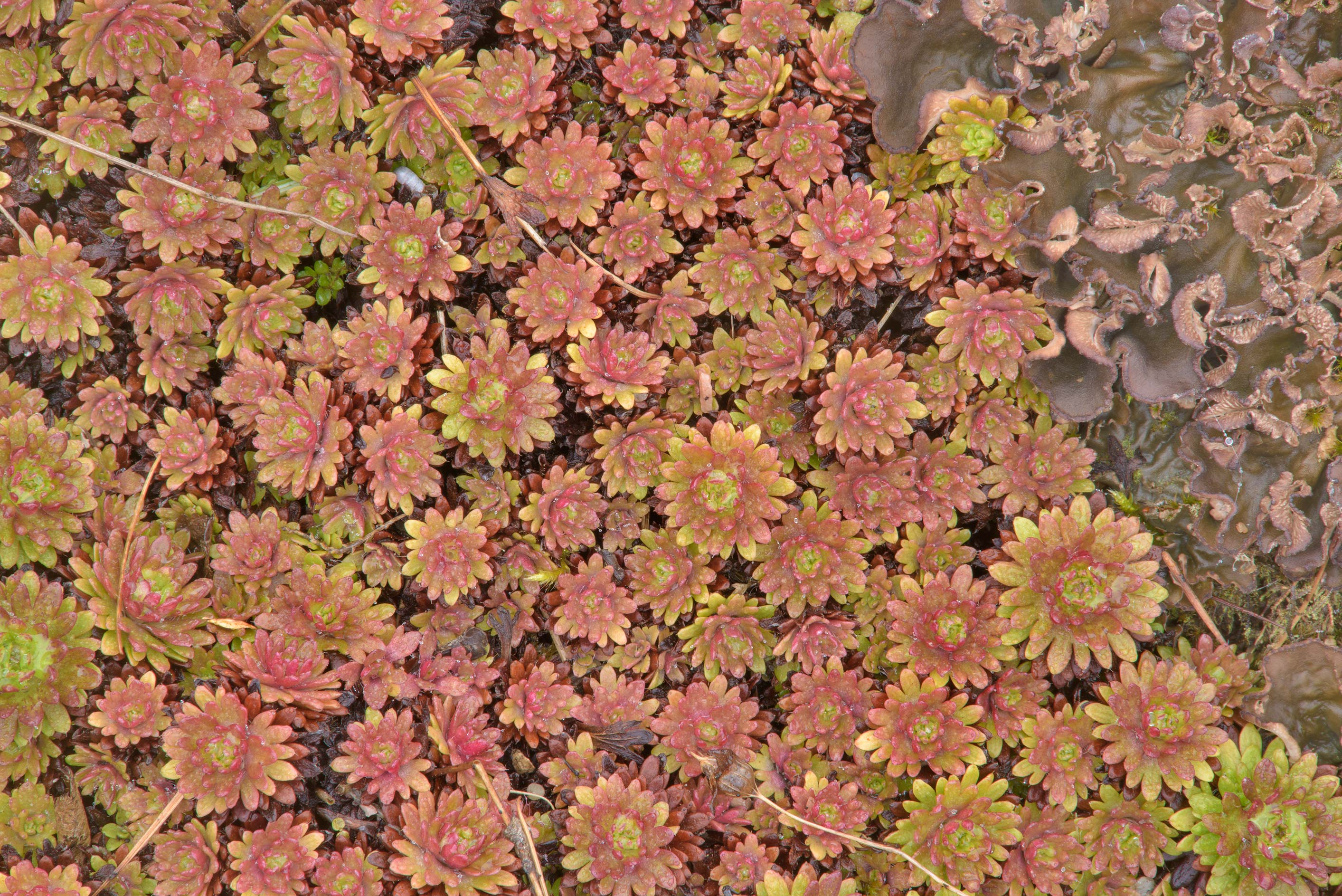 Saxifrage on alpine hills in Botanic Gardens of...Institute. St.Petersburg, Russia