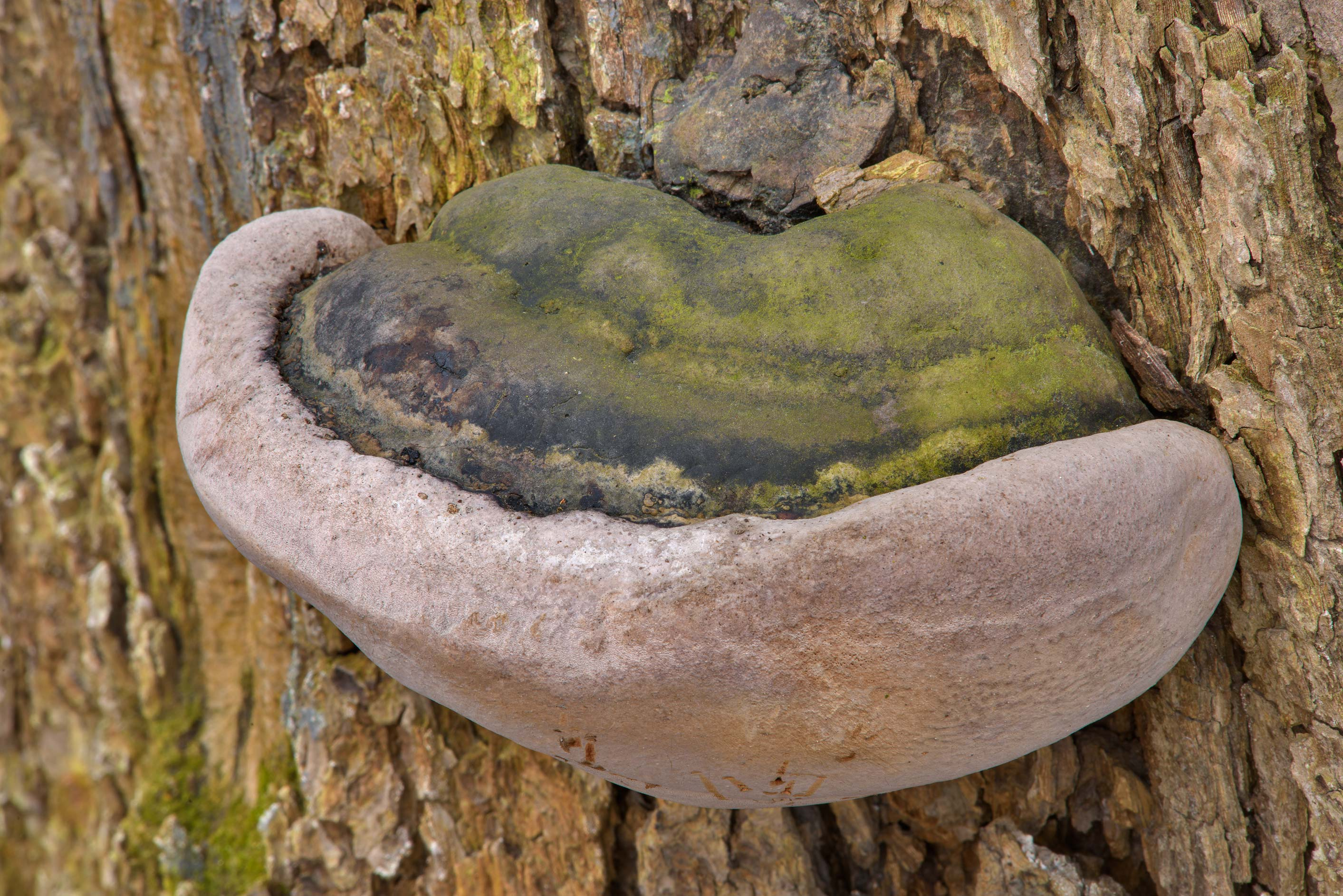 False tinder conk mushroom (Phellinus igniarius...Institute. St.Petersburg, Russia
