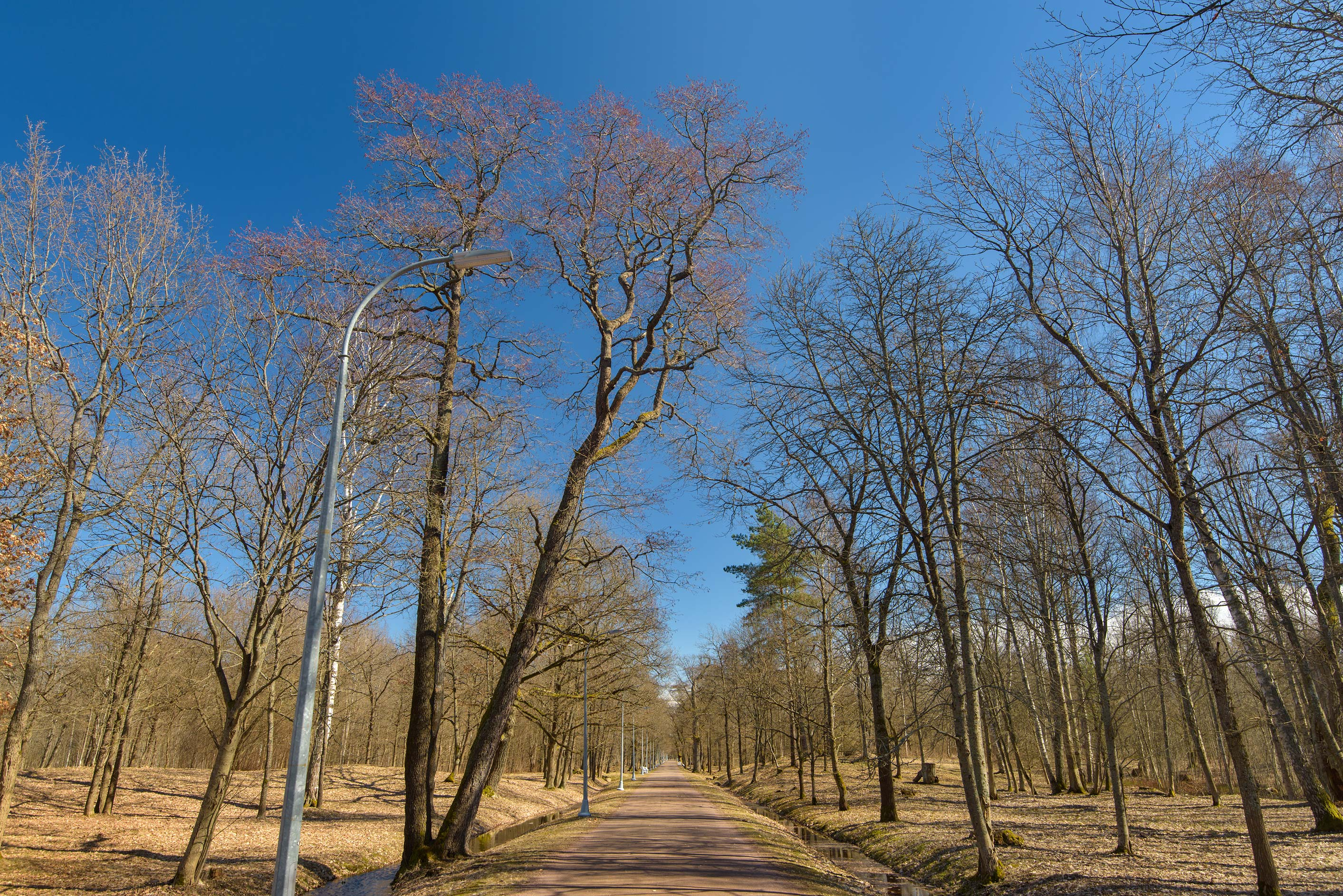 Oak alley of Dubki Park in Sestroretsk, west from St.Petersburg. Russia