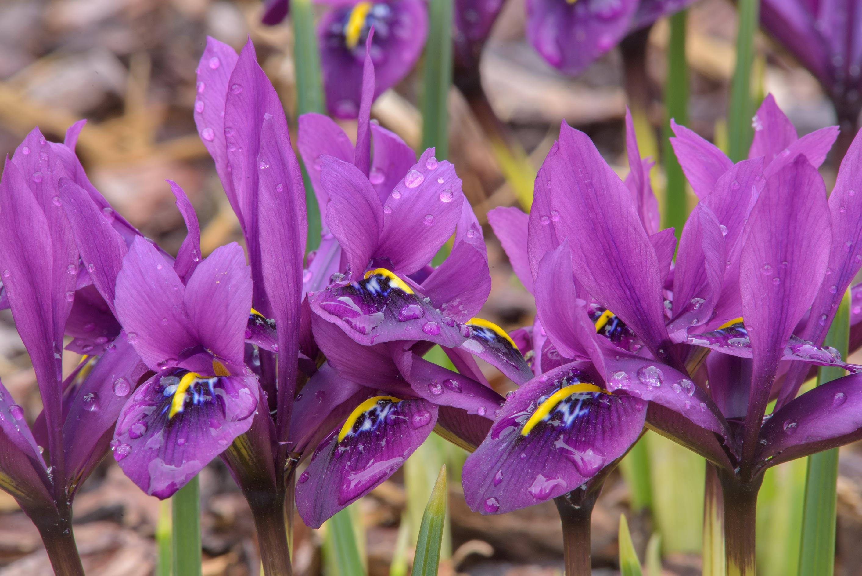 Photo 2021 01 Blue Iris Flowers Iridodictyum Histrioides In