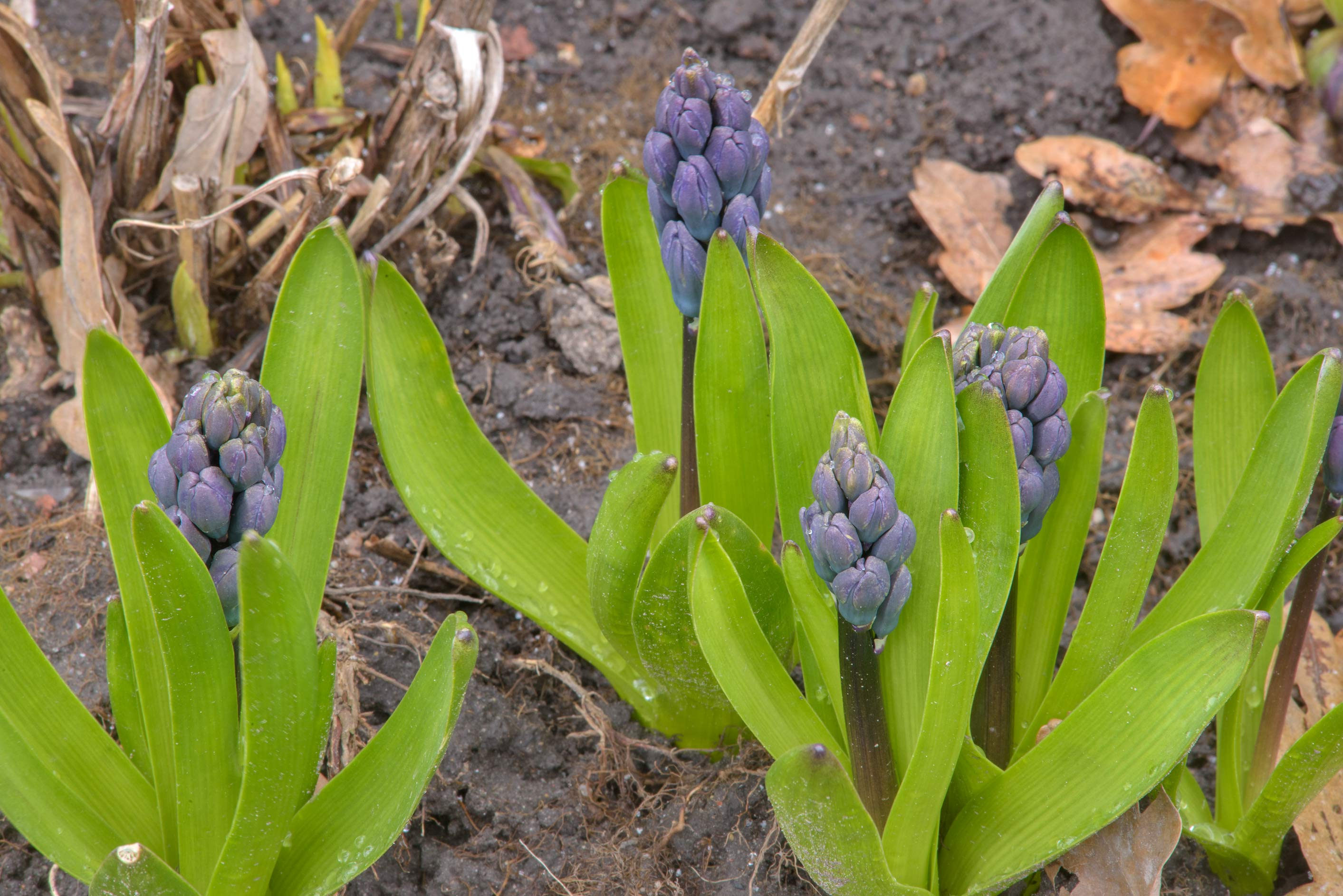 Blue hyacinths in Botanic Gardens of Komarov Botanical Institute. St.Petersburg, Russia