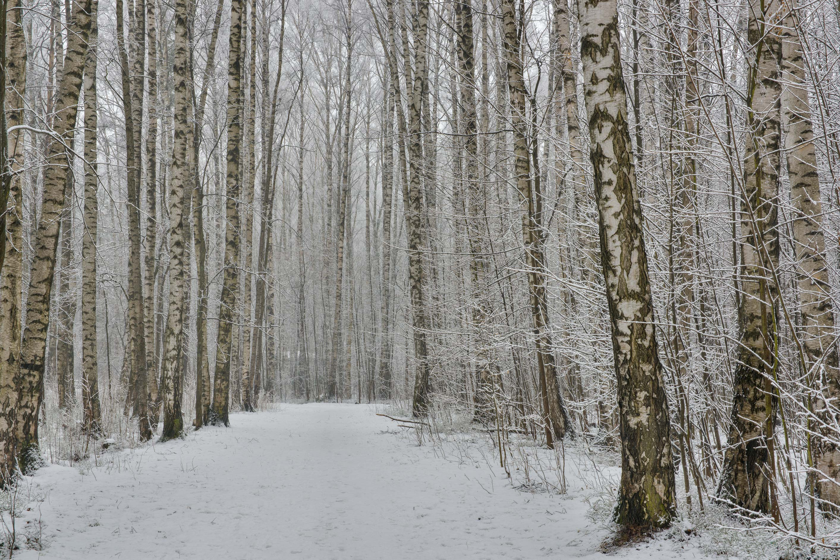 Birch alley with snow in Sosnovka Park. St.Petersburg, Russia