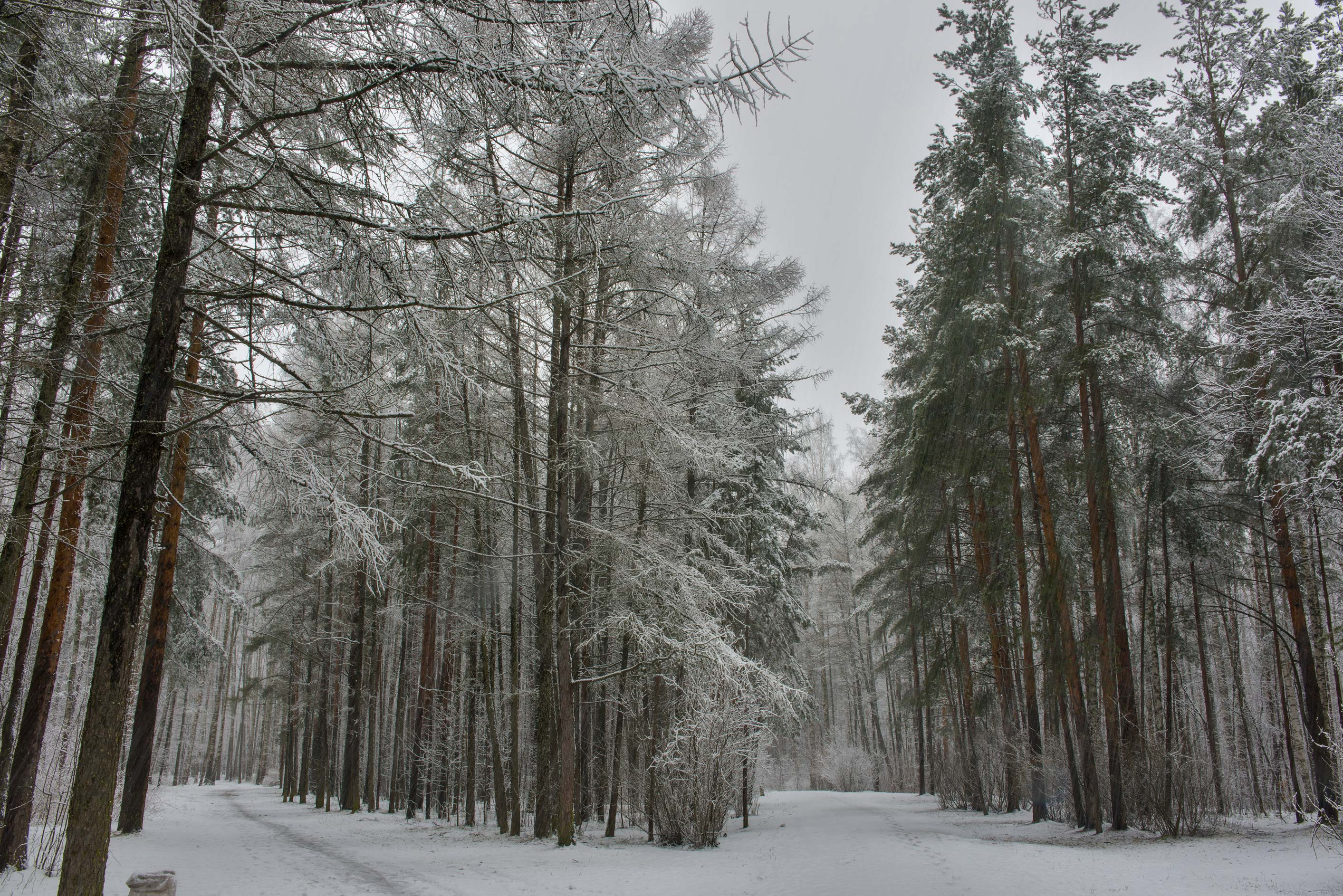 Larch and pine trees at snowfall in Sosnovka Park. St.Petersburg, Russia