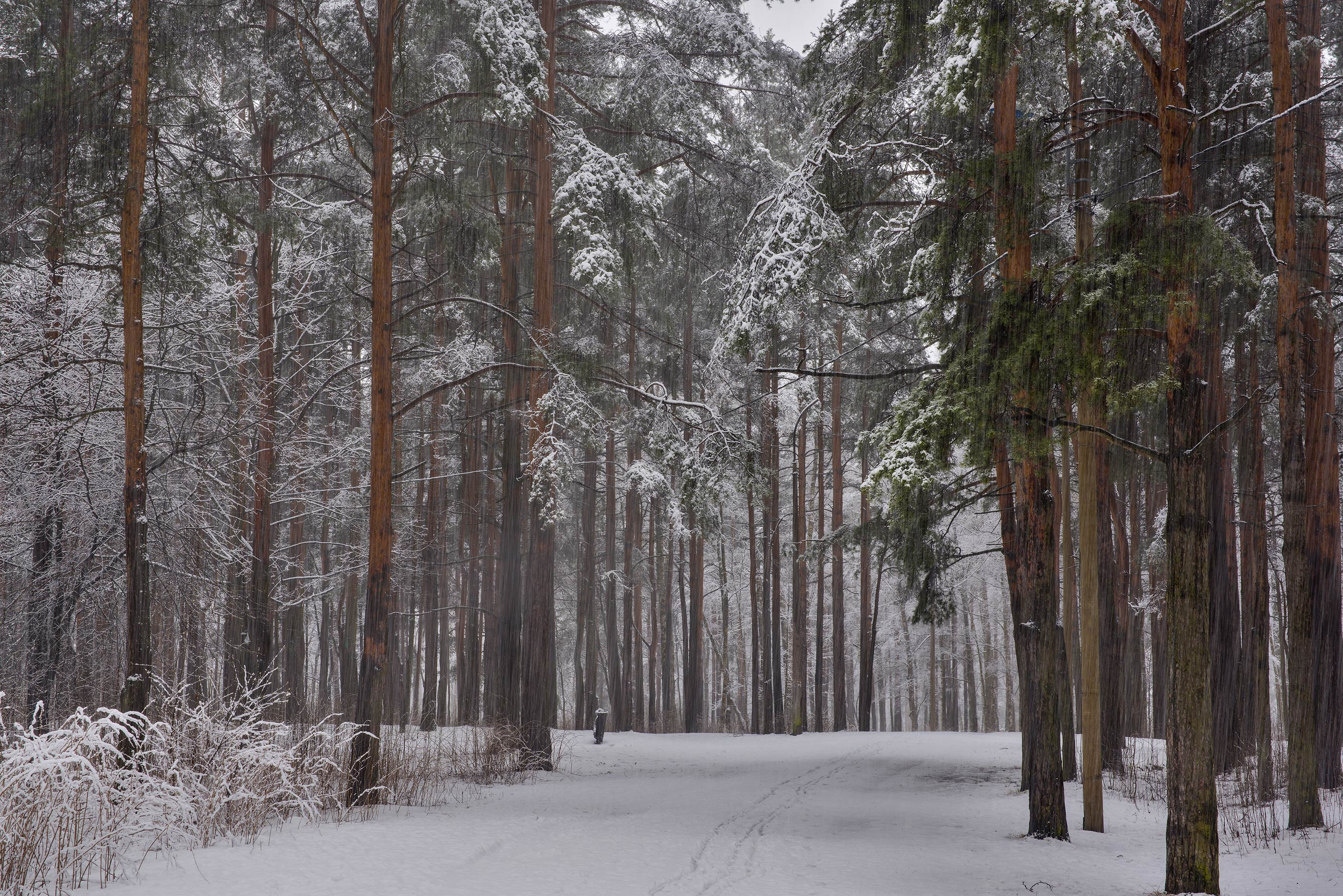 Pine forest in Sosnovka Park. St.Petersburg, Russia