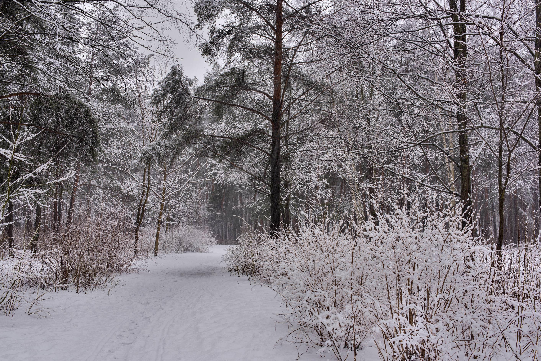 photo 202605 snowy path in sosnovka park stpetersburg