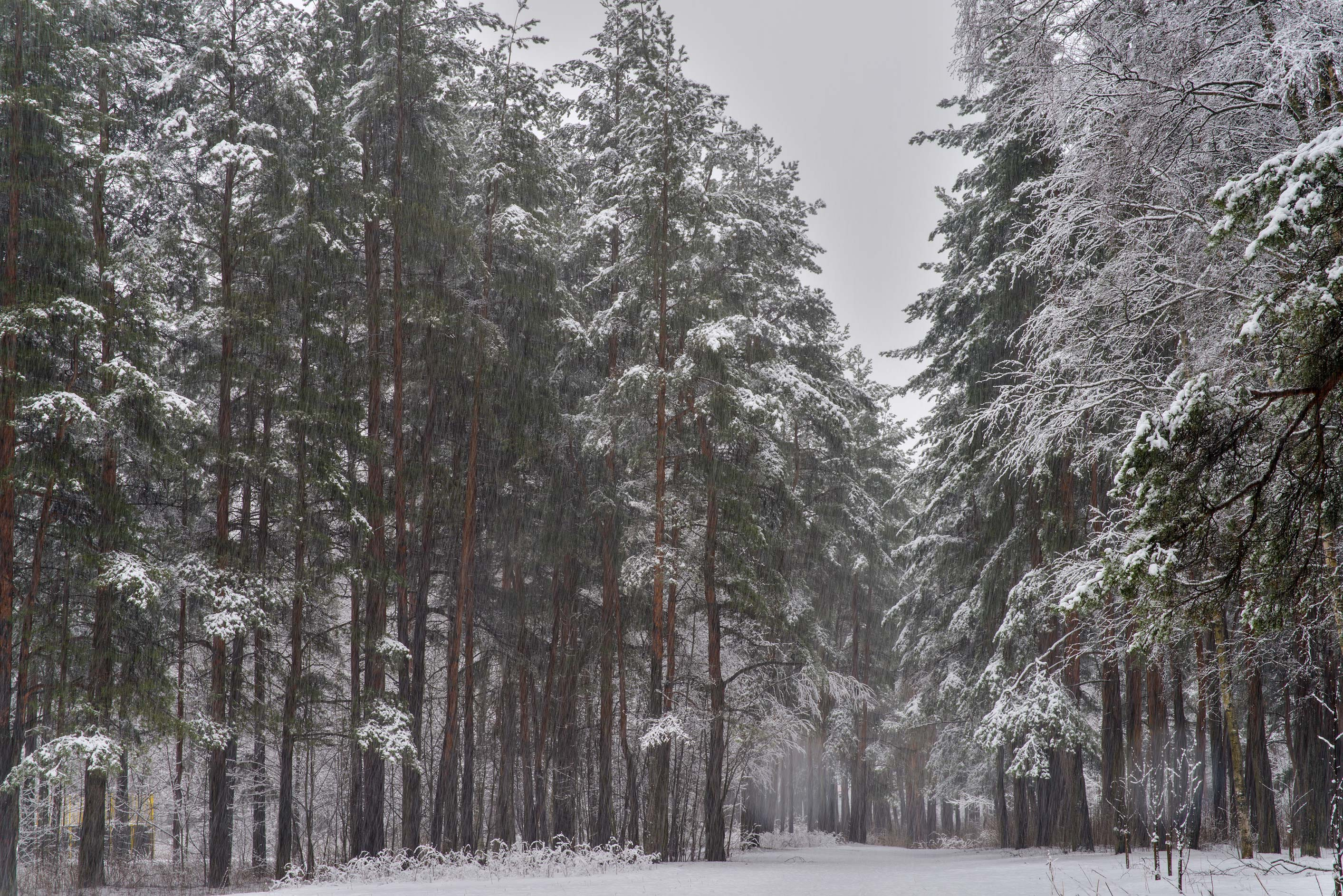 Pines with snow in Sosnovka Park. St.Petersburg, Russia