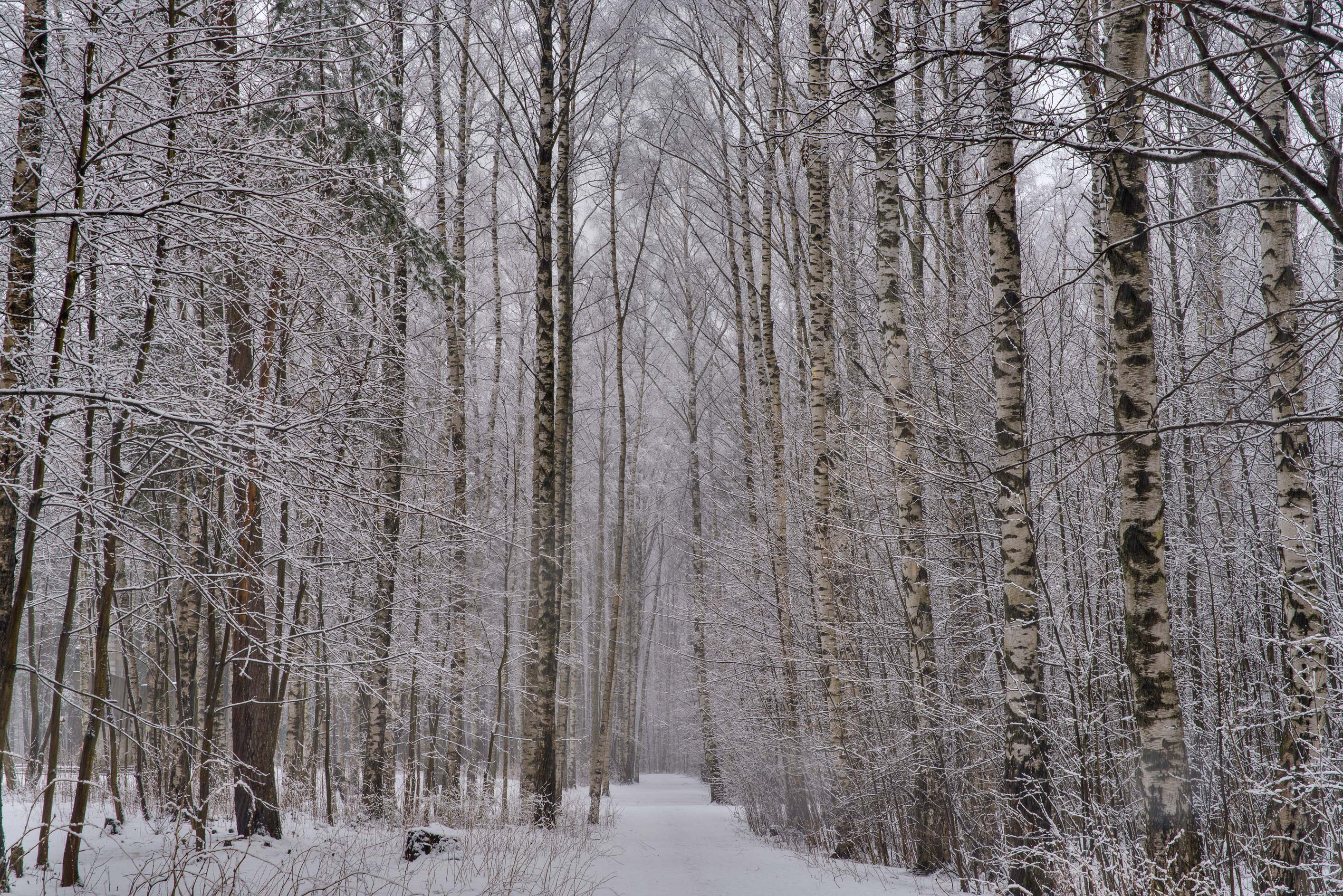 Birch forest with snow in Sosnovka Park. St.Petersburg, Russia