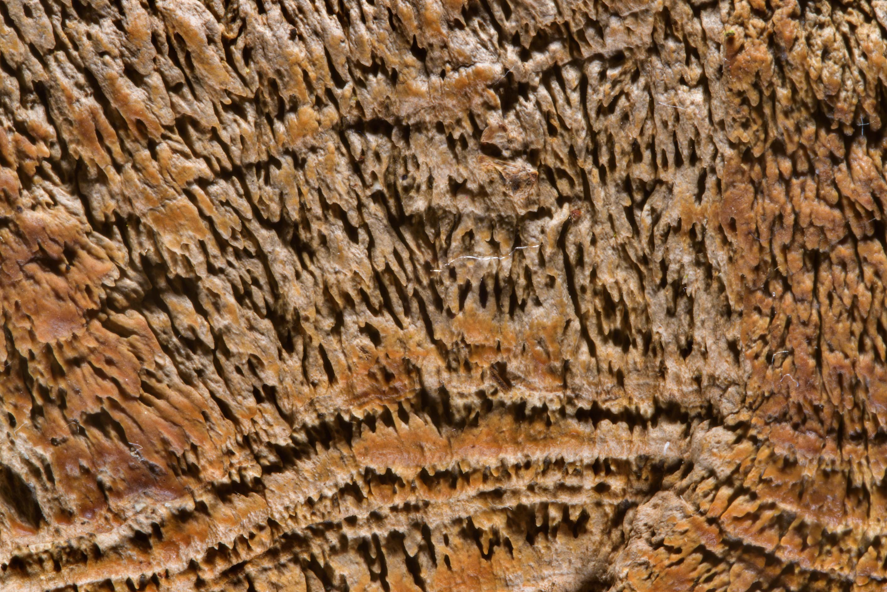 Pattern of a cap of maze-gill fungus (oak...Nos, west from St.Petersburg. Russia