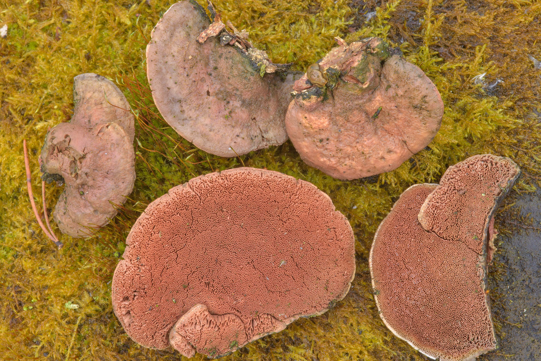 photo 202805 polypore mushrooms hapalopilus nidulans