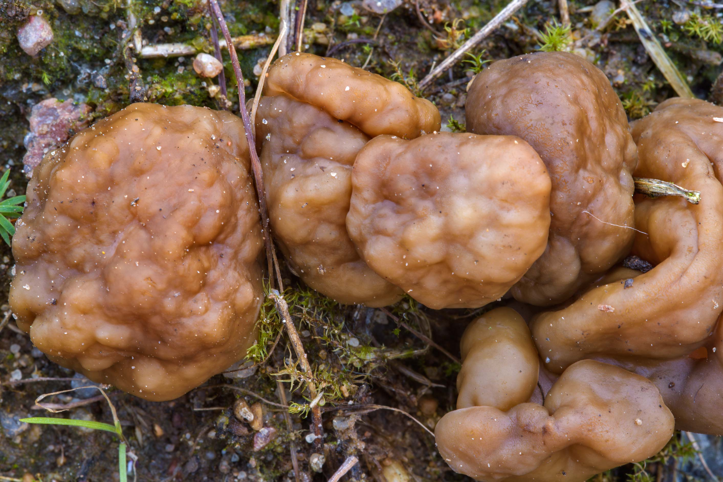 Snow morel mushrooms (Gyromitra gigas) in sand on...miles north from St.Petersburg. Russia