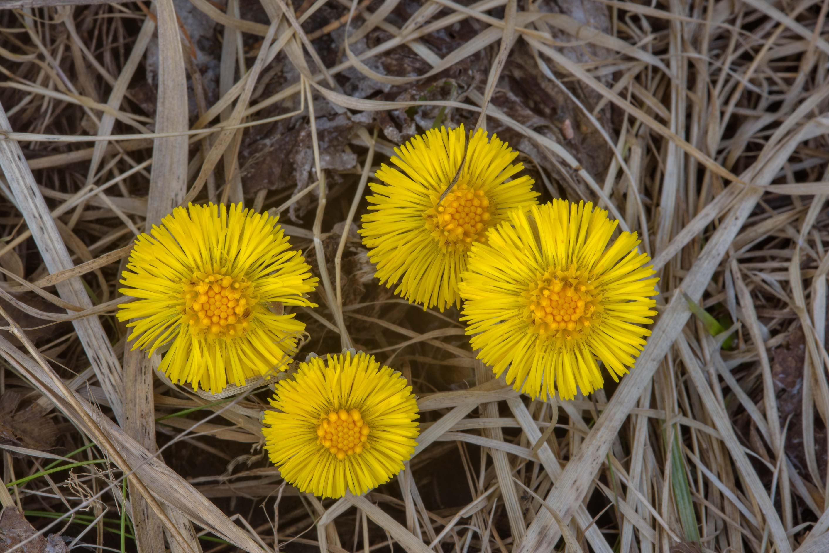 Blooming Coltsfoot (Tussilago farfara, Russian...miles north from St.Petersburg. Russia