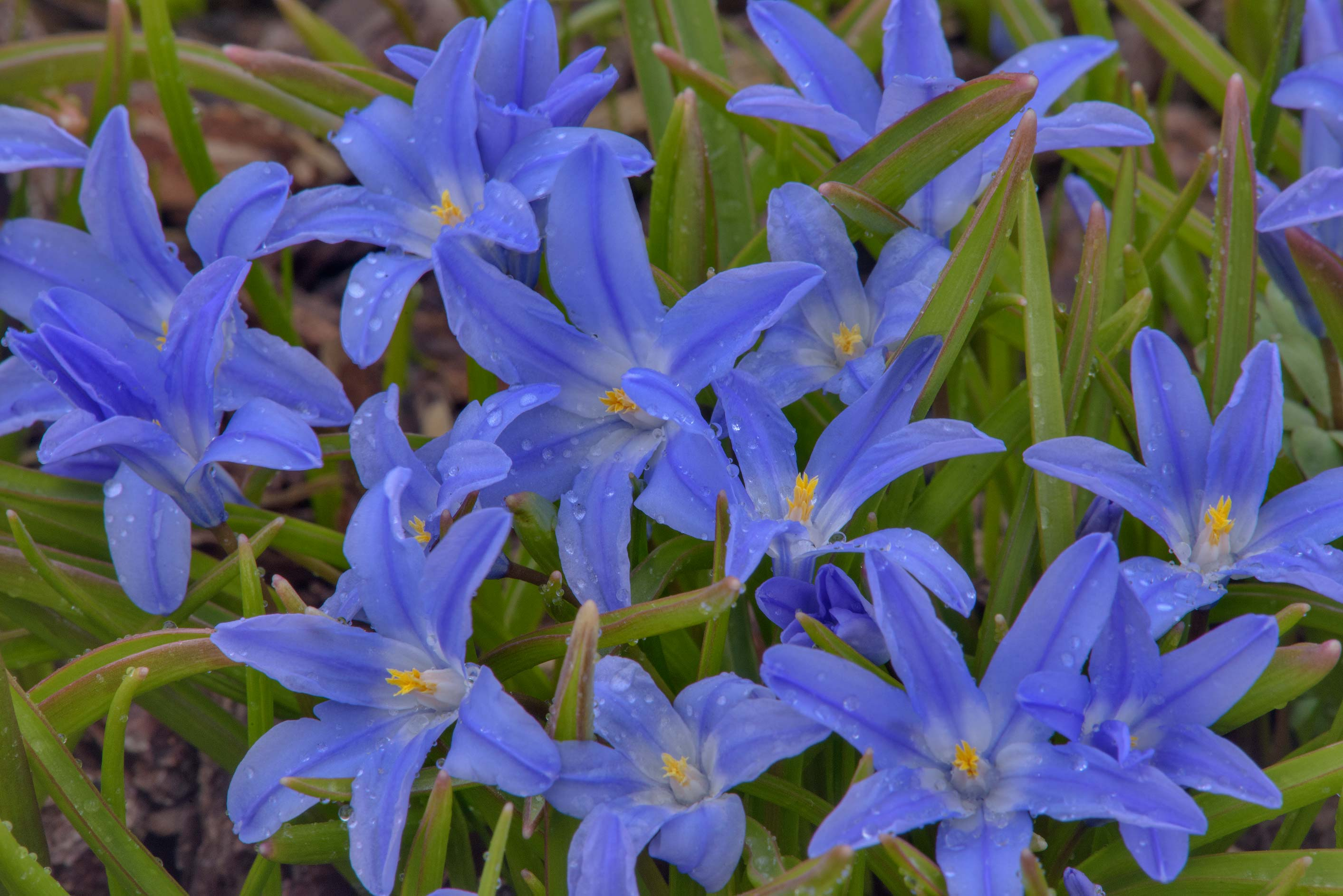 Lucile's glory-of-the-snow (Chionodoxa luciliae...Institute. St.Petersburg, Russia