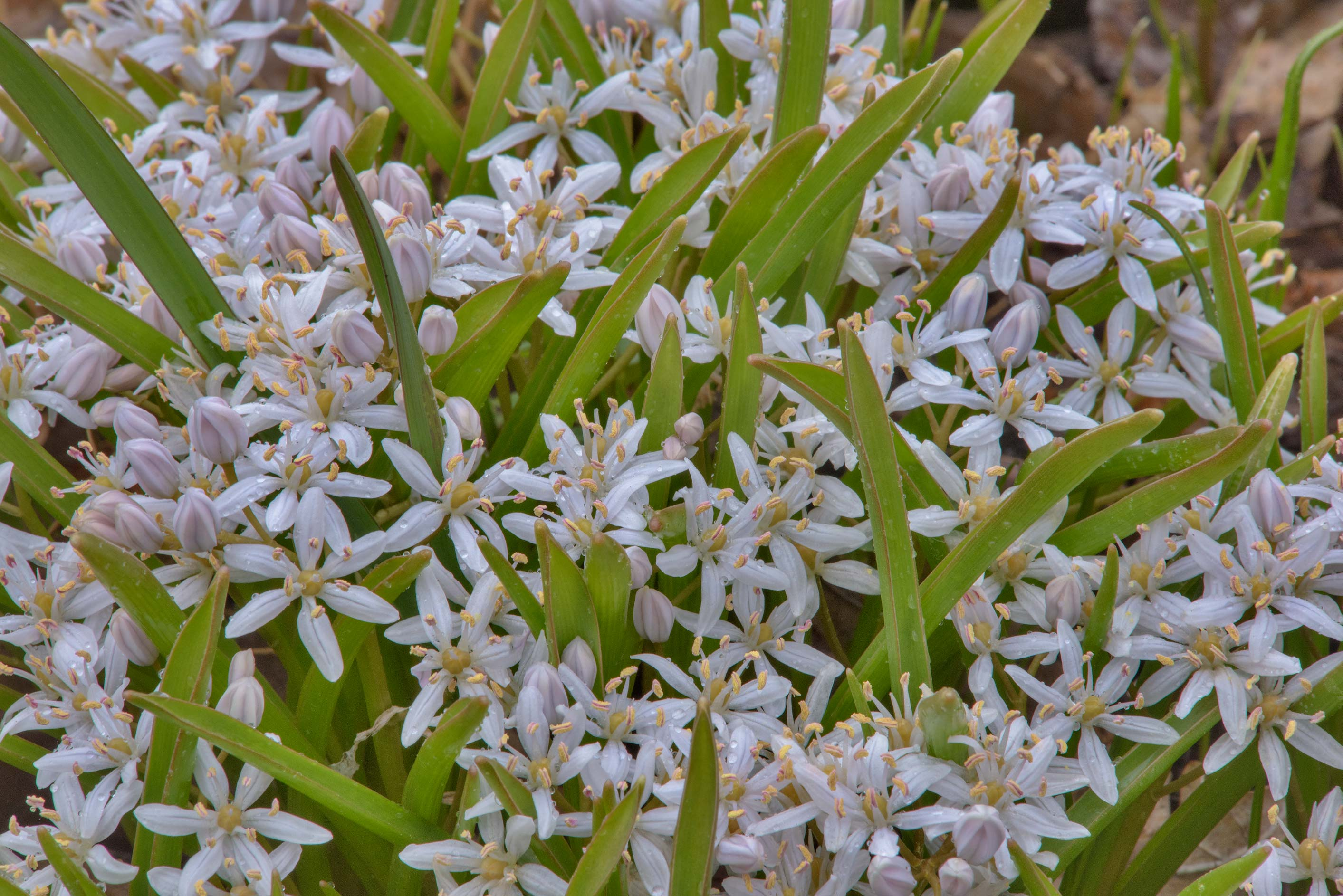 Photo 2030 20 small white flowers of lily family in botanic x large image izmirmasajfo