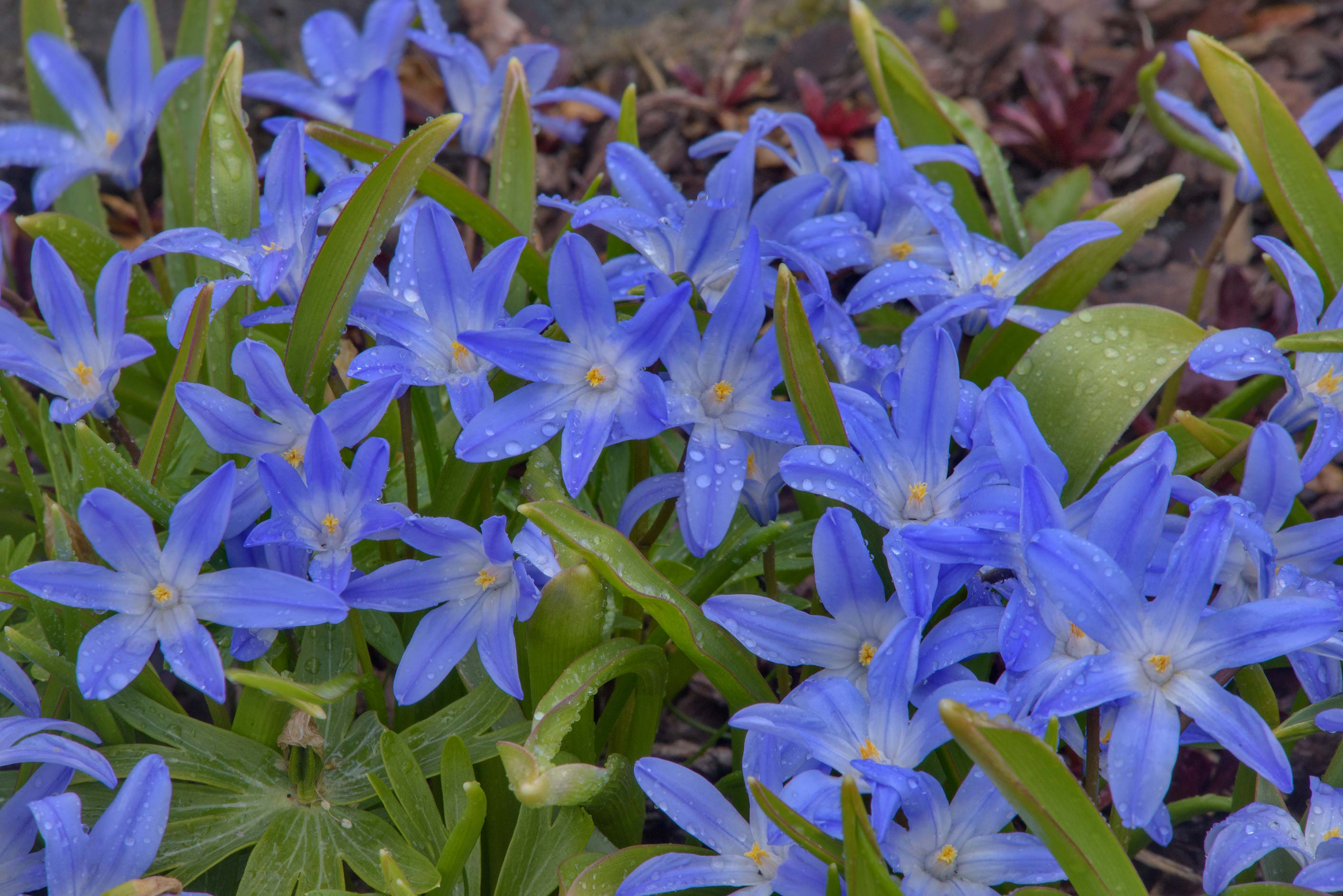 Flowers of Lucile's glory-of-the-snow (Chionodoxa...Institute. St.Petersburg, Russia