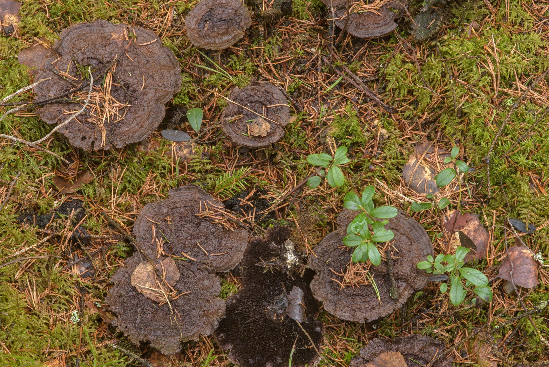 photo 203105 last year tooth mushrooms hydnellum near