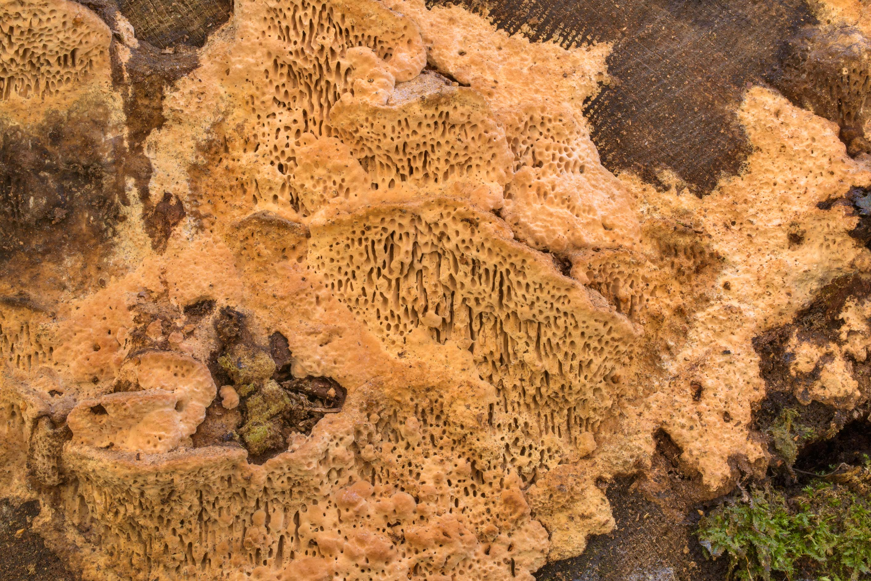 Maze-gill fungus (oak mazegill mushroom, Daedalea...Nos, west from St.Petersburg. Russia