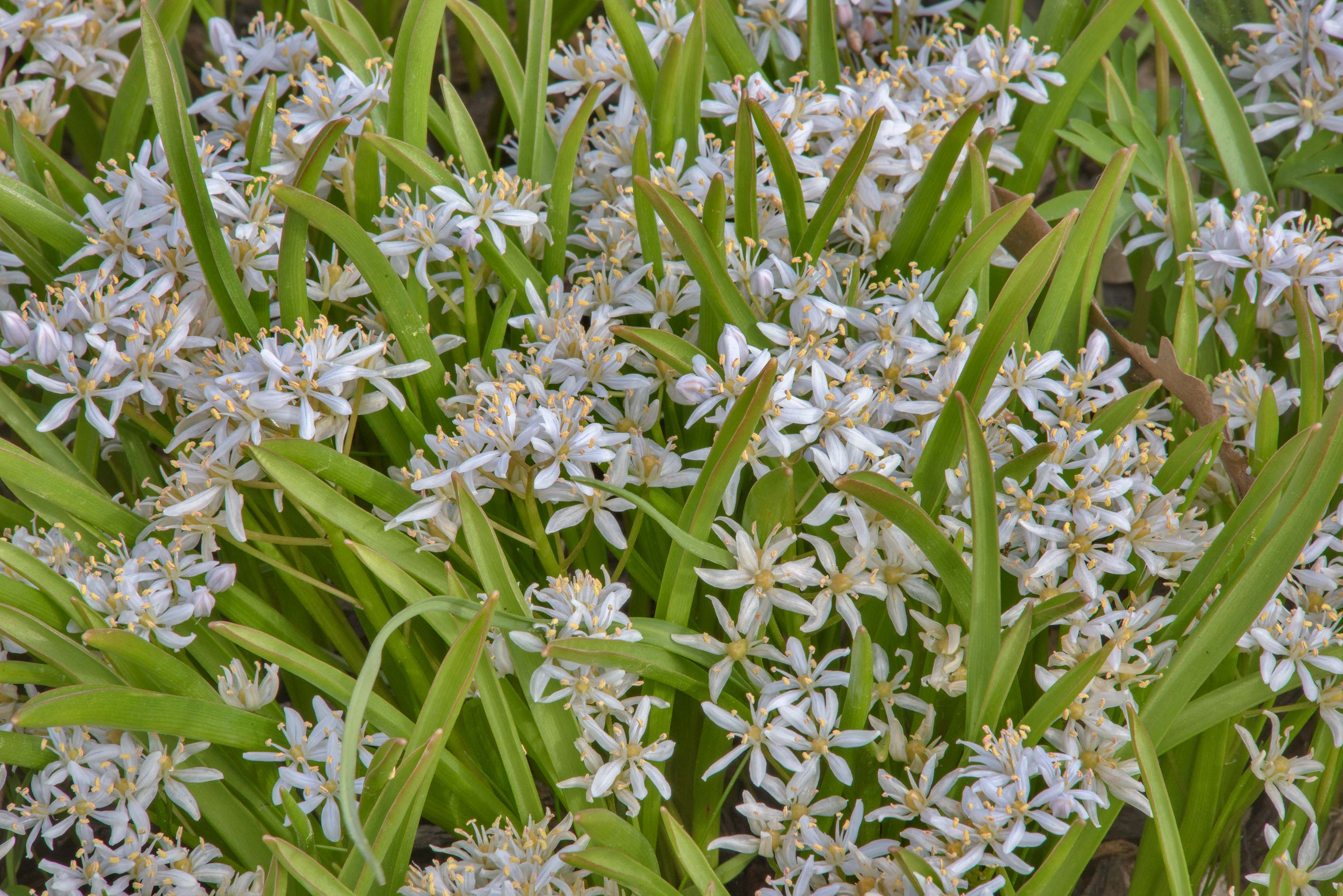 Alpine Squill (Scilla bifolia, Russian name...Institute. St.Petersburg, Russia