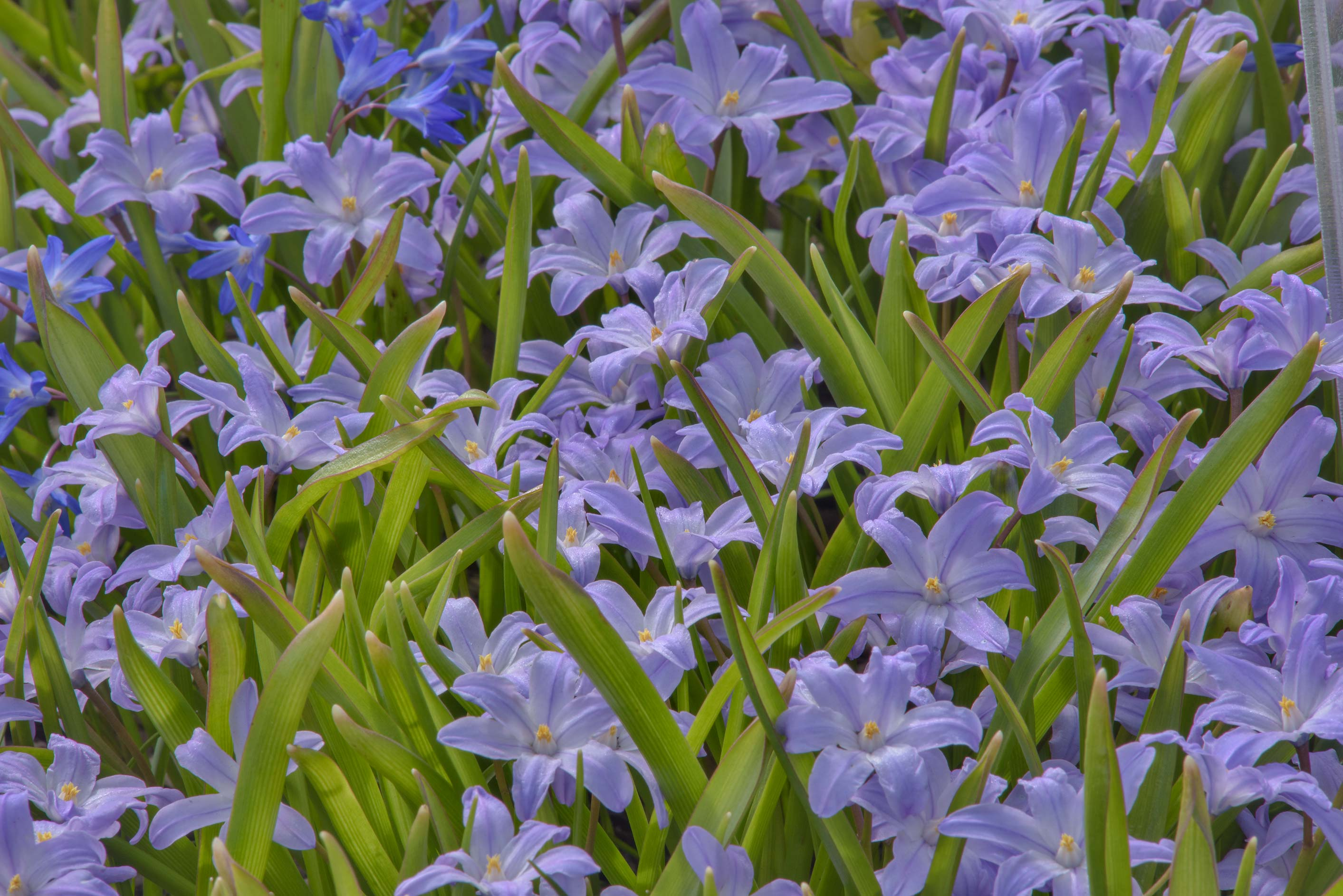 Lesser glory-of-the-snow (Chionodoxa sardensis...Institute. St.Petersburg, Russia