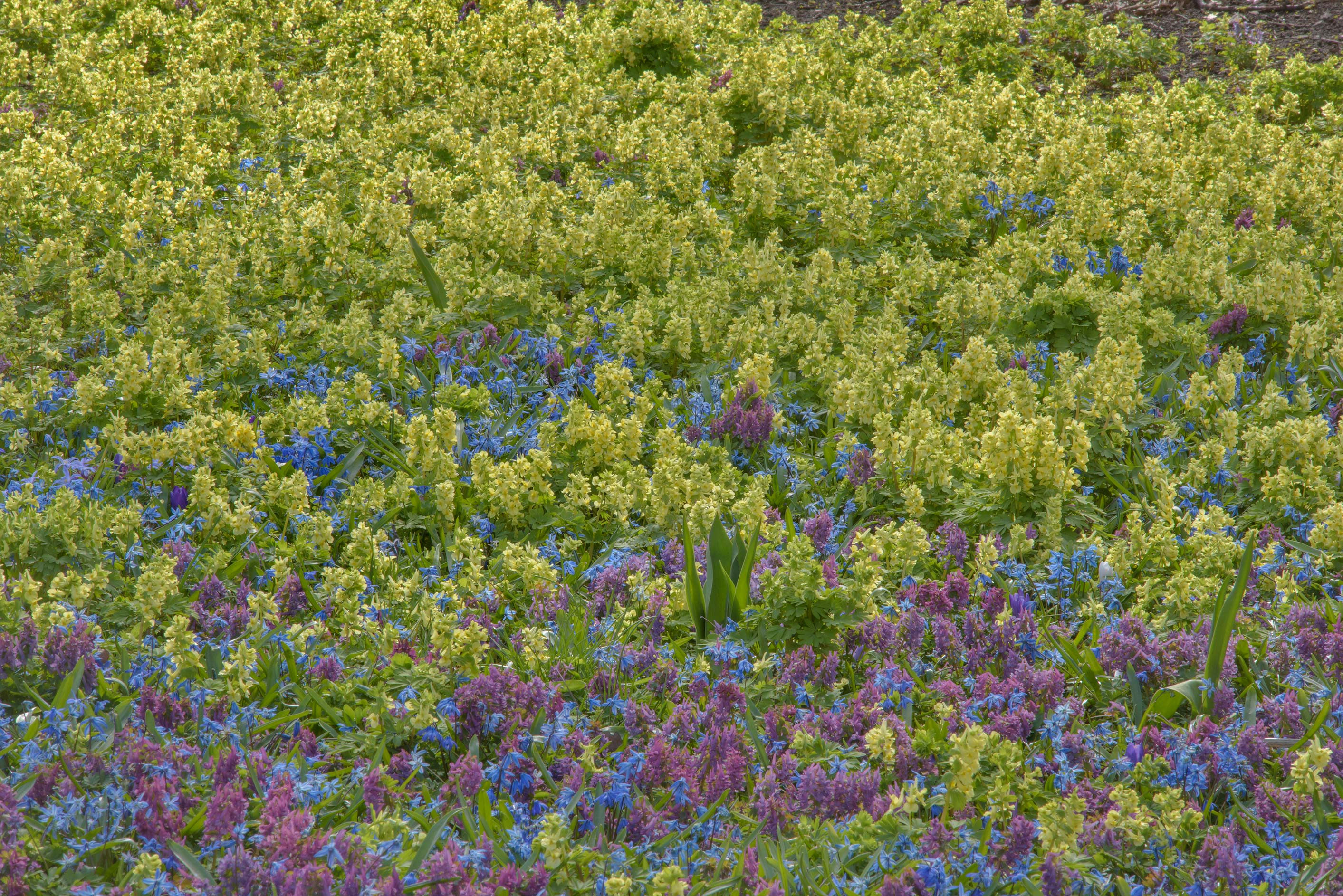 Carpet of fumewort (Corydalis) in Botanic Gardens...Institute. St.Petersburg, Russia