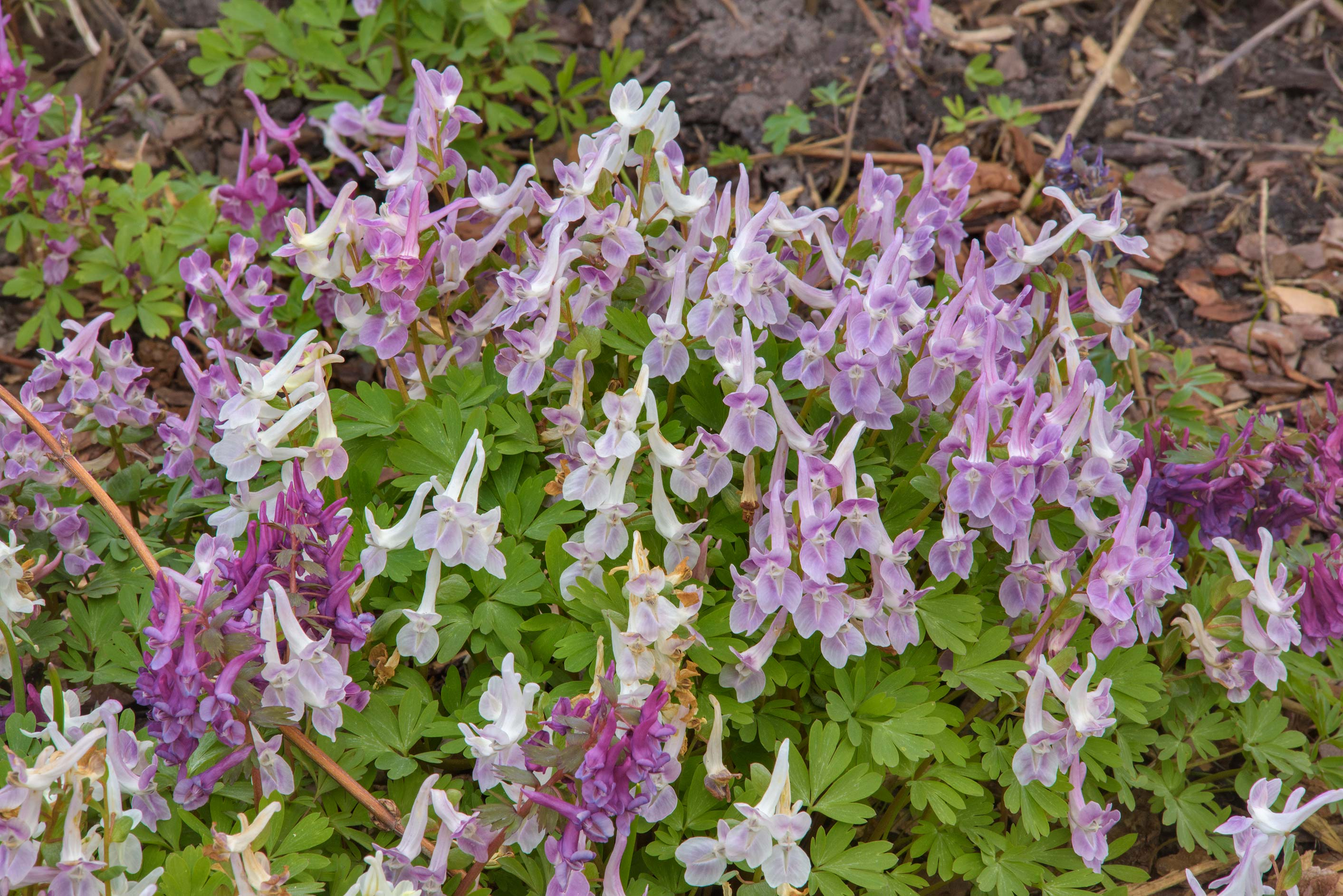 White and perple fumewort (Corydalis) in Botanic...Institute. St.Petersburg, Russia