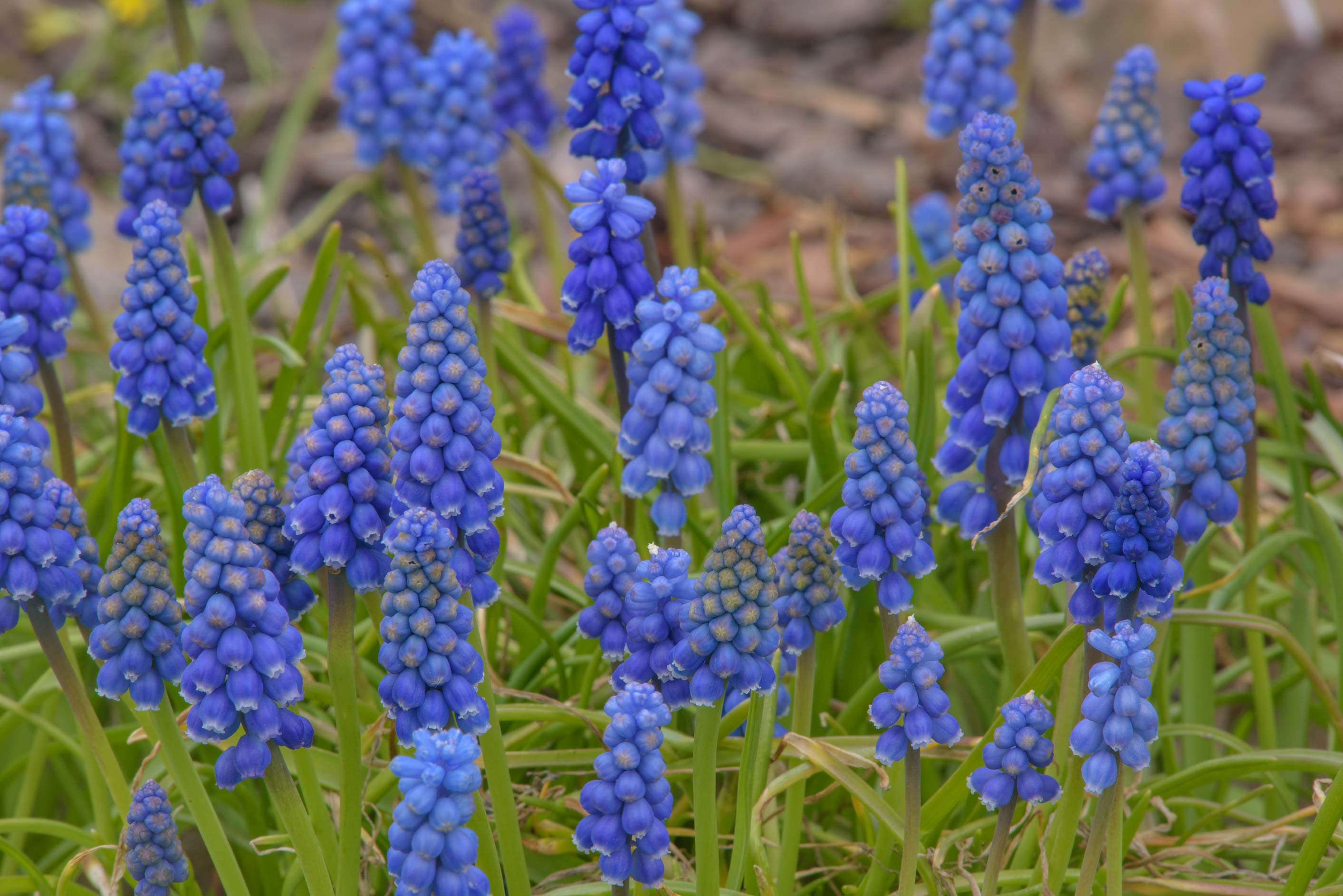 Grape Hyacinths (Muscari) in Botanic Gardens of...Institute. St.Petersburg, Russia